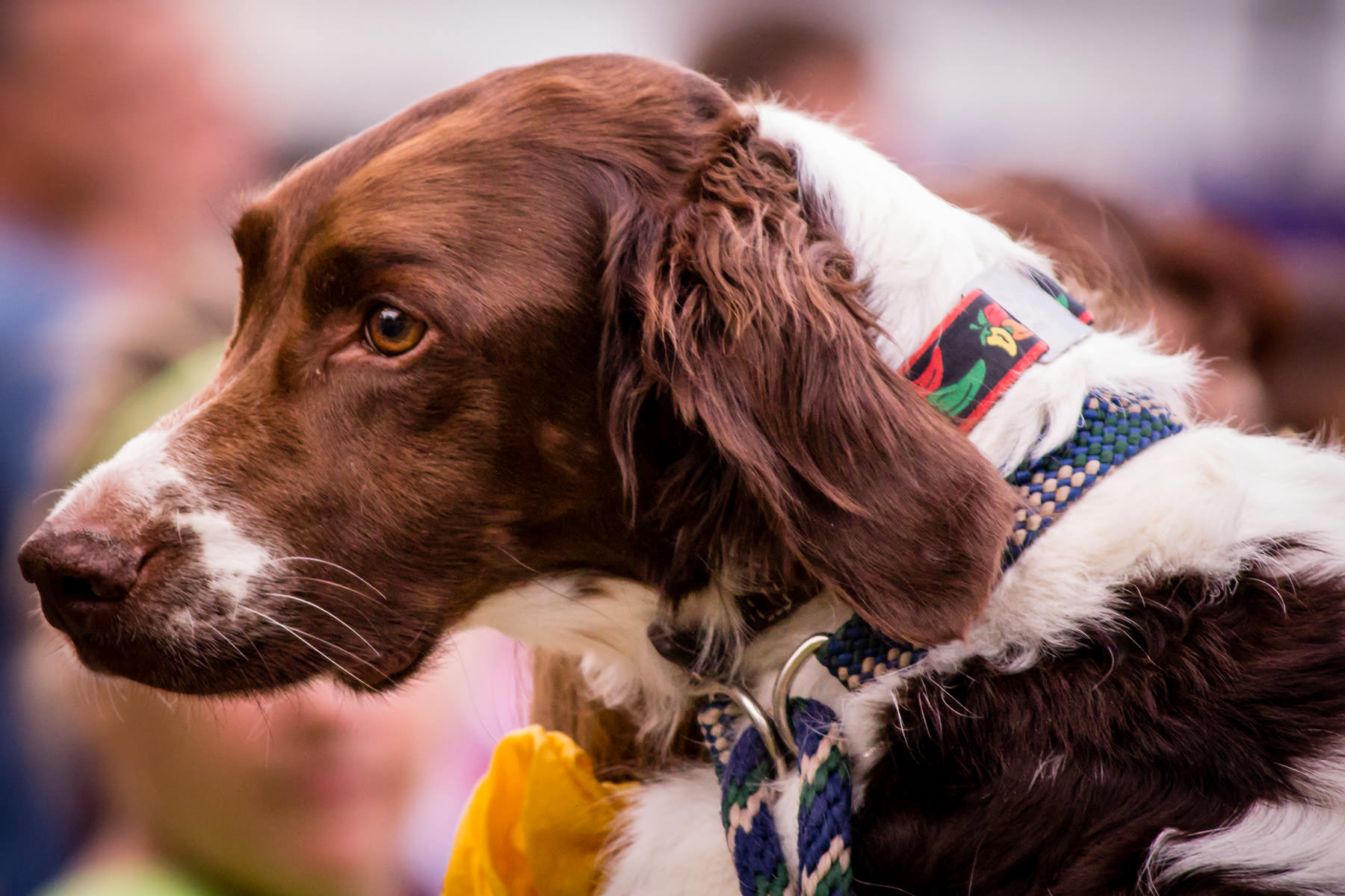 A dog at Oktoberfest, Addison, Texas.
