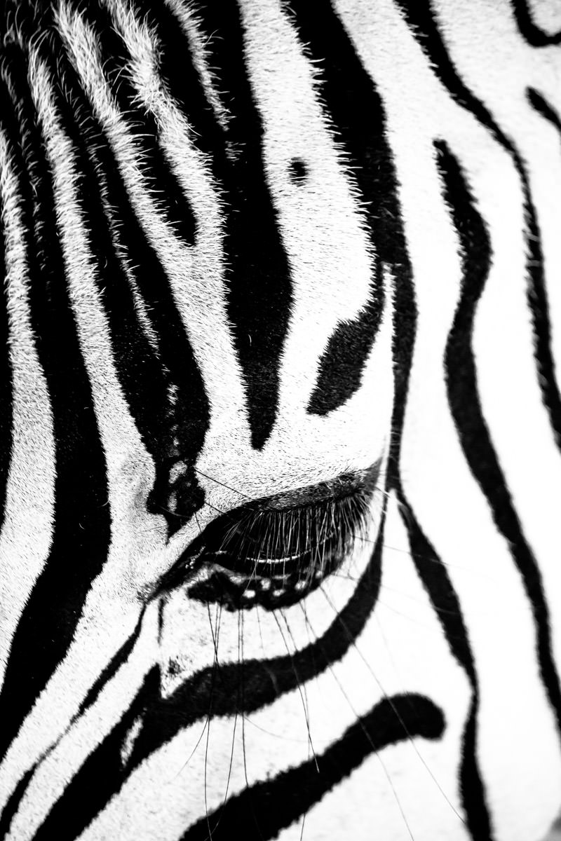 Detail of a zebra's eye spotted at Sharkarosa Ranch, Pilot Point, Texas.