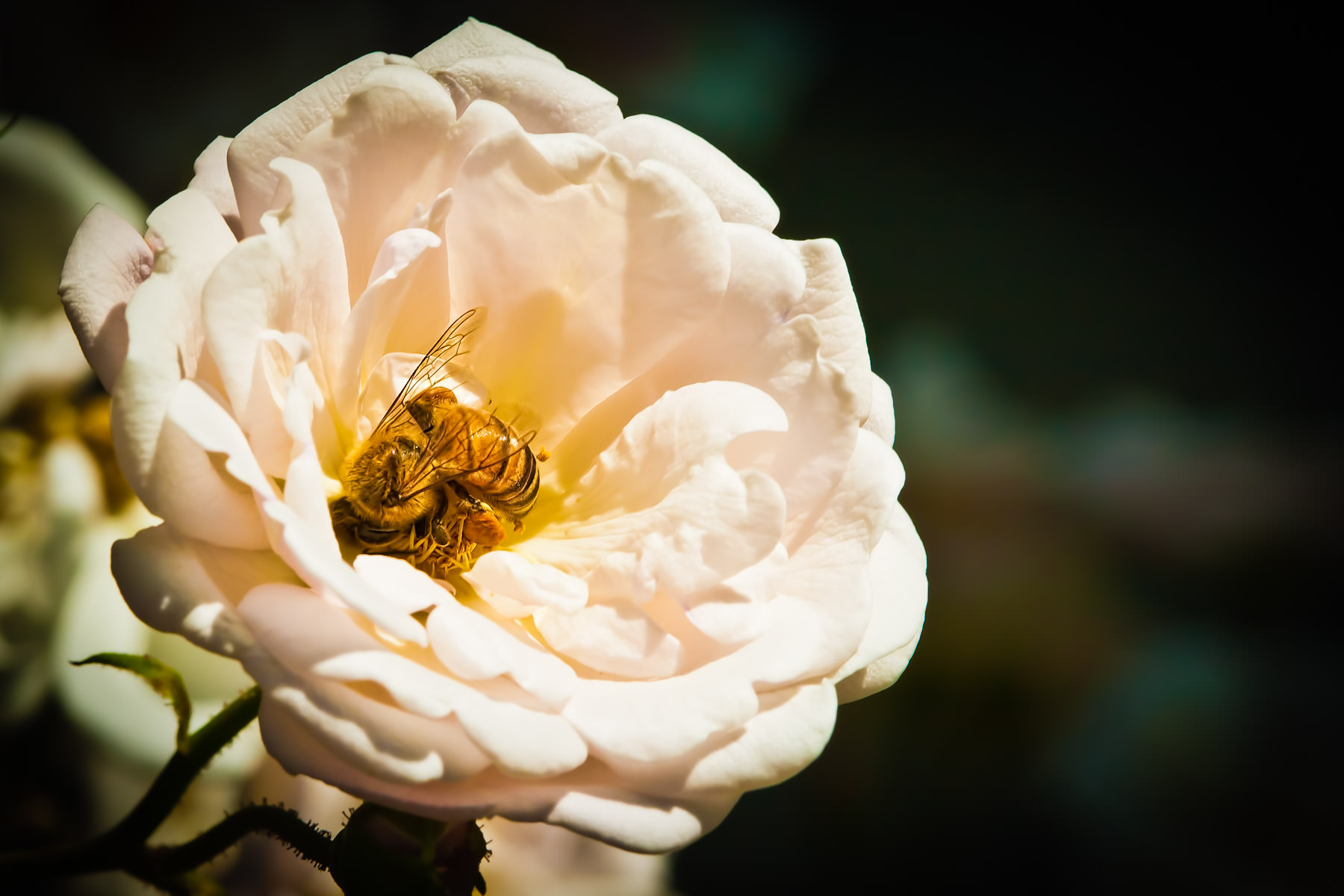 A bee collects pollen from a rose in Addison Circle Park, Addison, Texas.