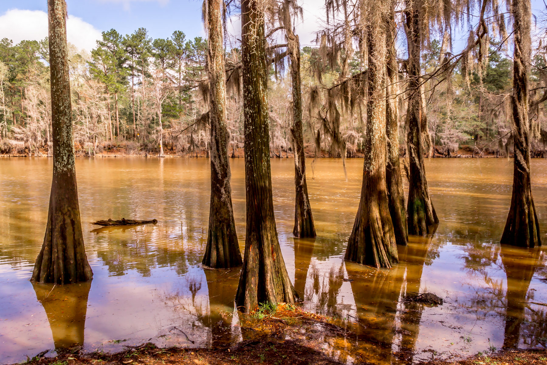Cypress trees rise out of the water at Caddo Lake State Park, Texas.