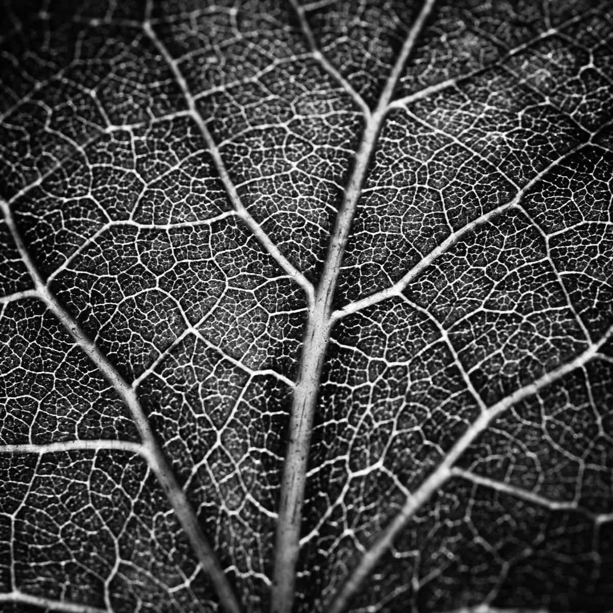 Detail of the back of a leaf, shot at the Dallas Arboretum.