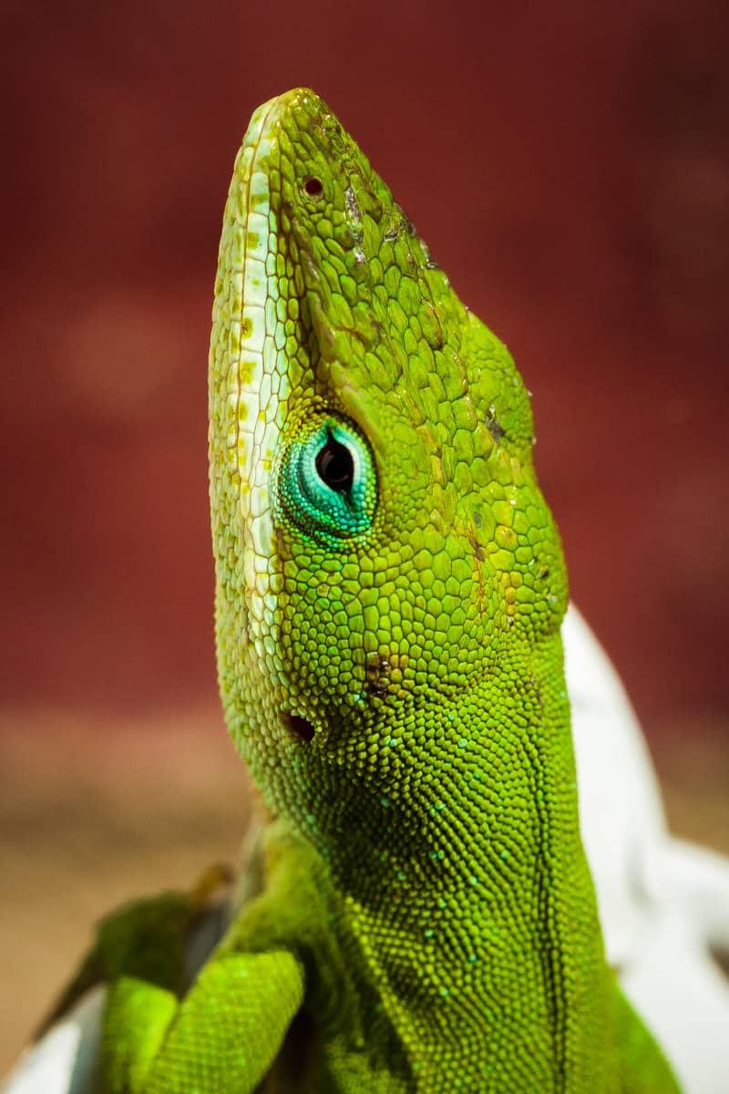 A green anole taking a break from doing lizard stuff in Tyler, Texas.
