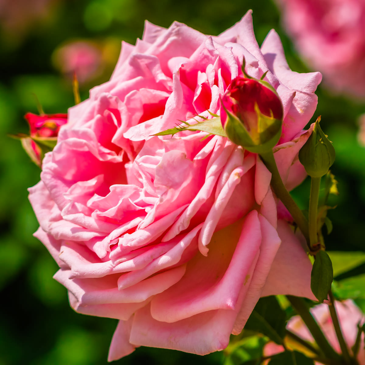 A pink rose in Addison Circle Park, Addison, Texas.