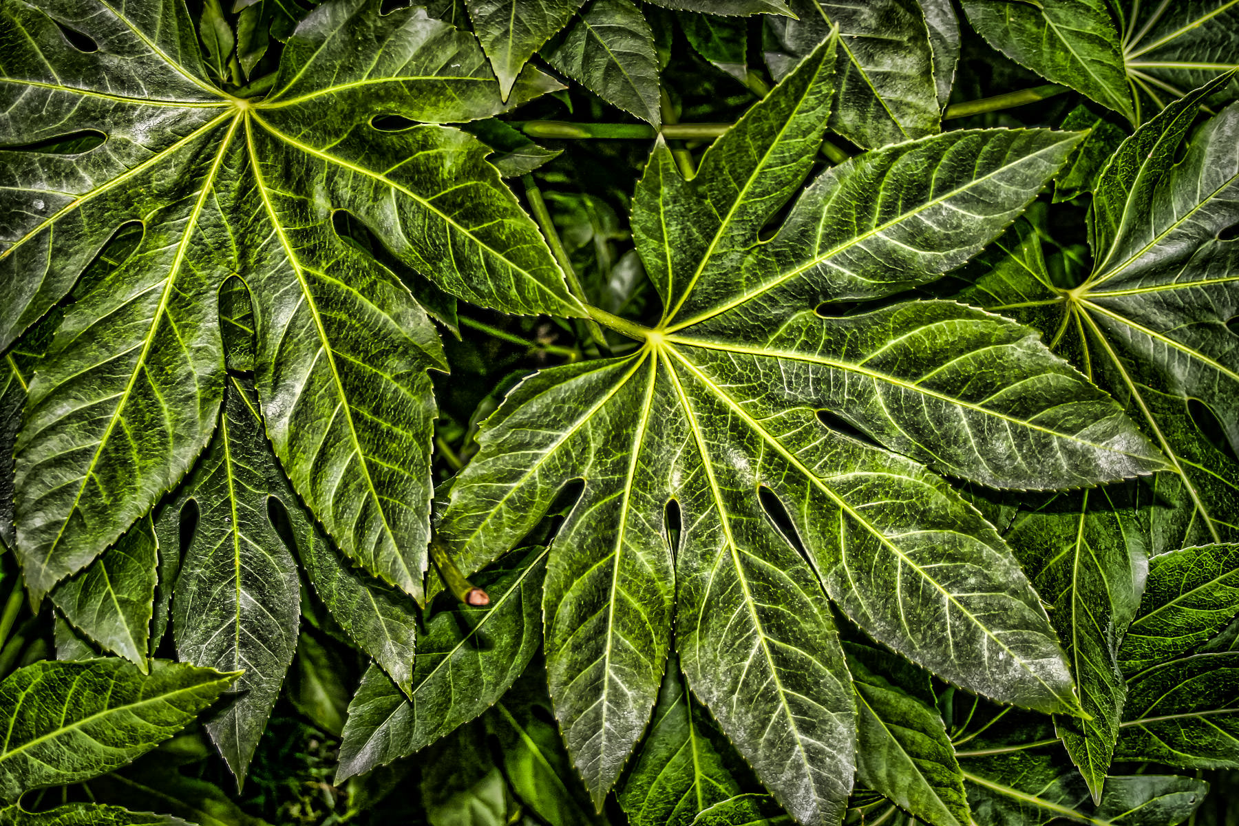 Large leaves spotted at the Fort Worth Botanic Garden, Texas.