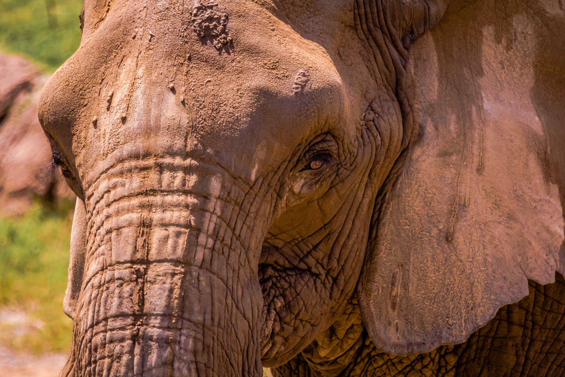 A wrinkled elephant at the Dallas Zoo.