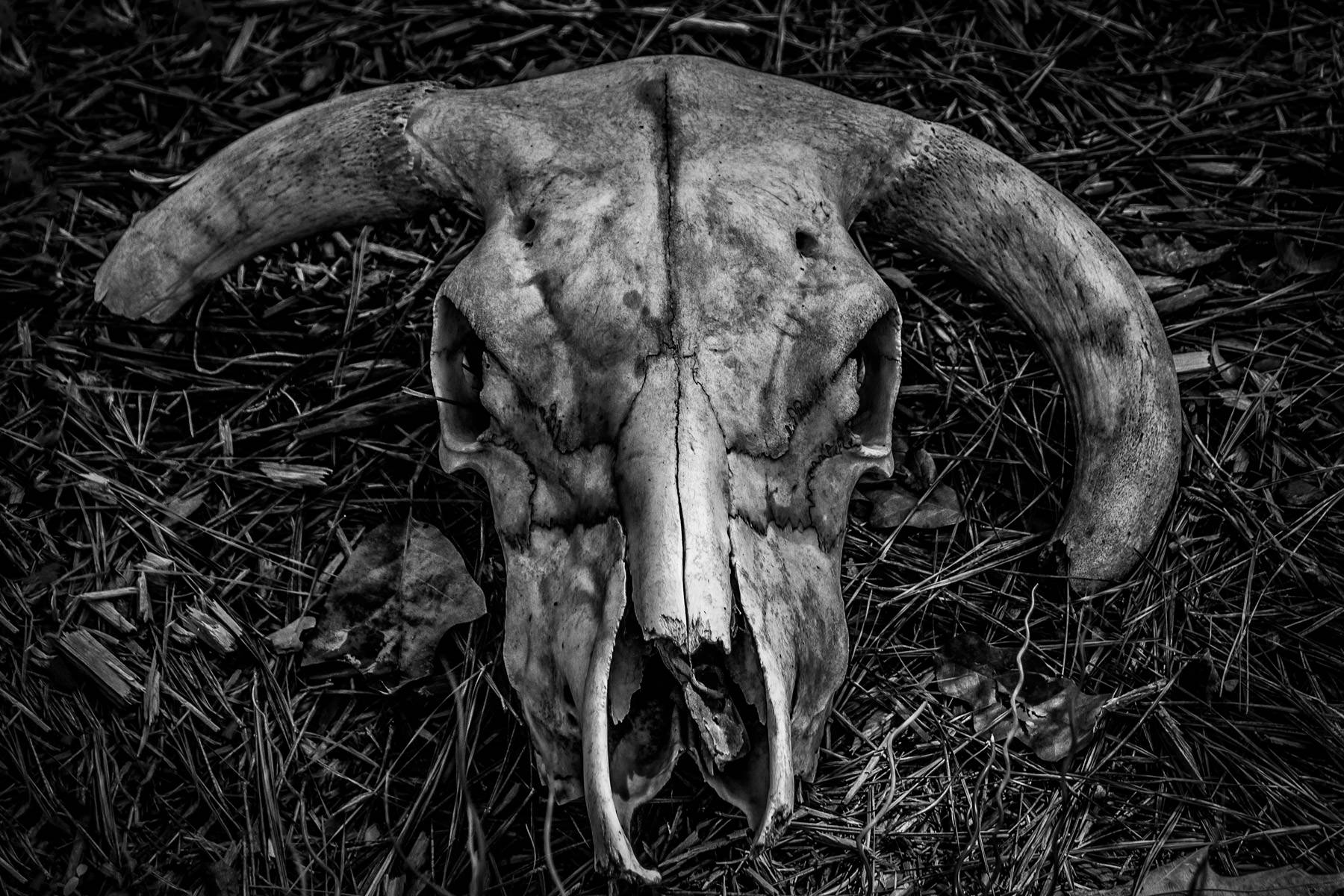 A cow skull found somewhere in East Texas.