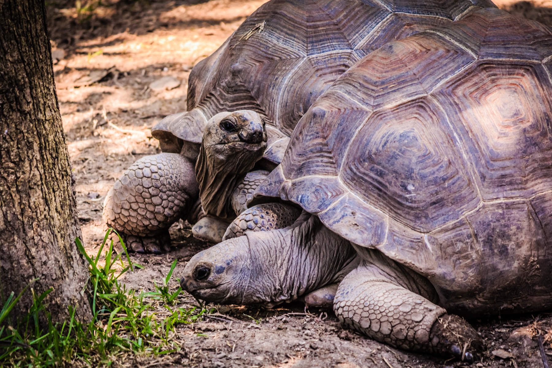A pair of giant tortoises at the Dallas Zoo.