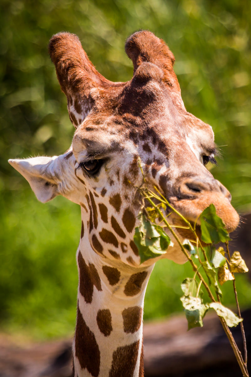 A giraffe at the Dallas Zoo pauses for a tasty snack.