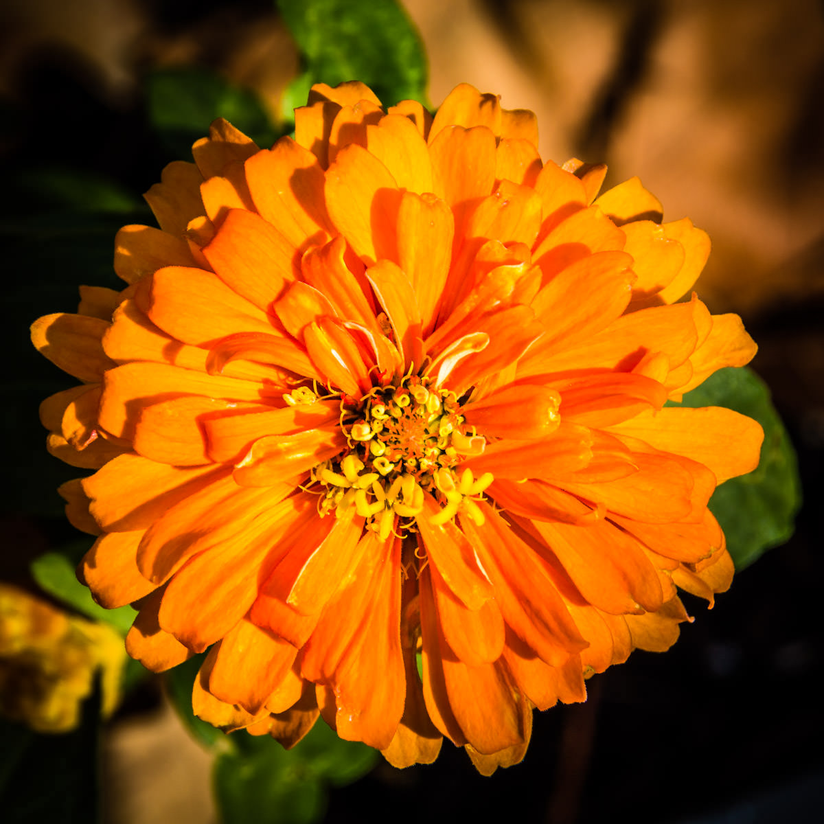An orange flower spotted in Plano, Texas.