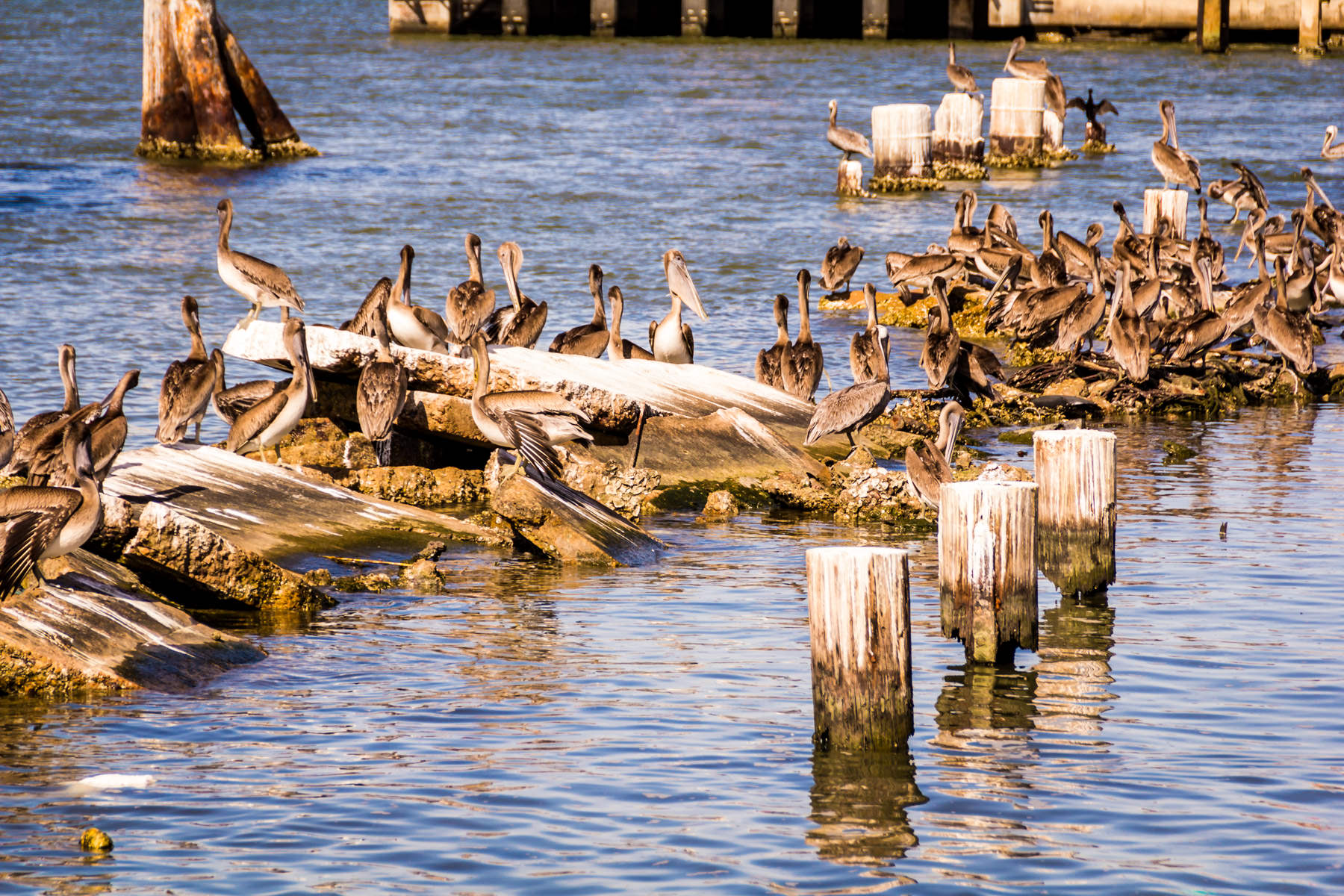 A flock of pelicans in Galveston, Texas.