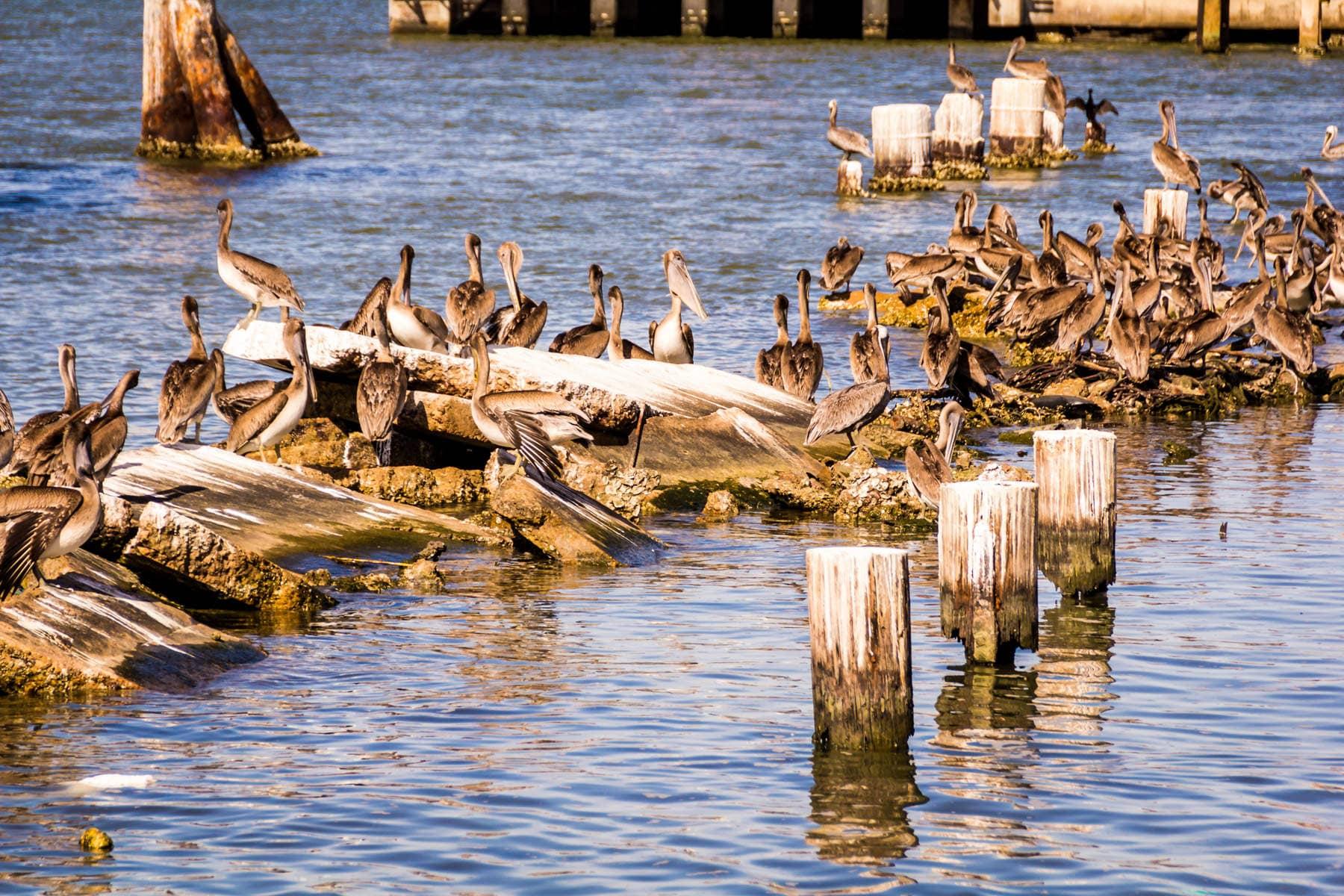 A flock of pelicans in Galveston, Texas.