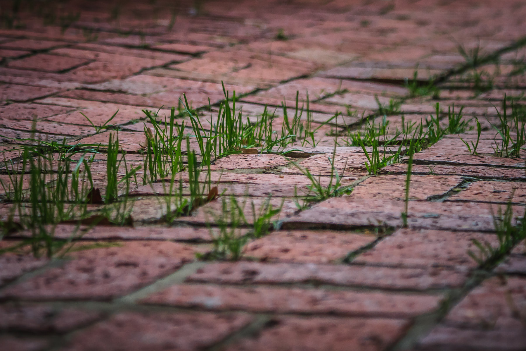 Grass growing in the spaces between bricks, spotted on the campus of Tyler Junior College, Tyler, Texas.