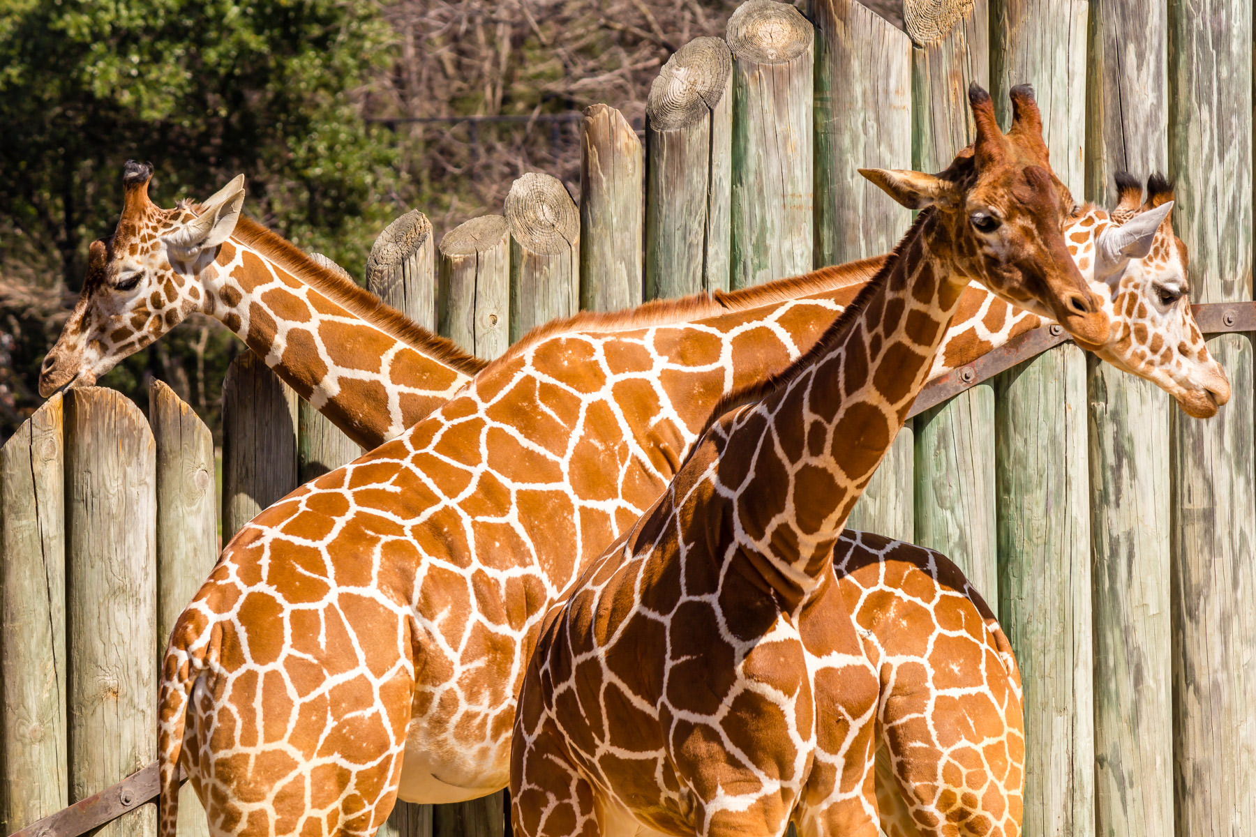 A trio of giraffes at Tyler, Texas' Caldwell Zoo.