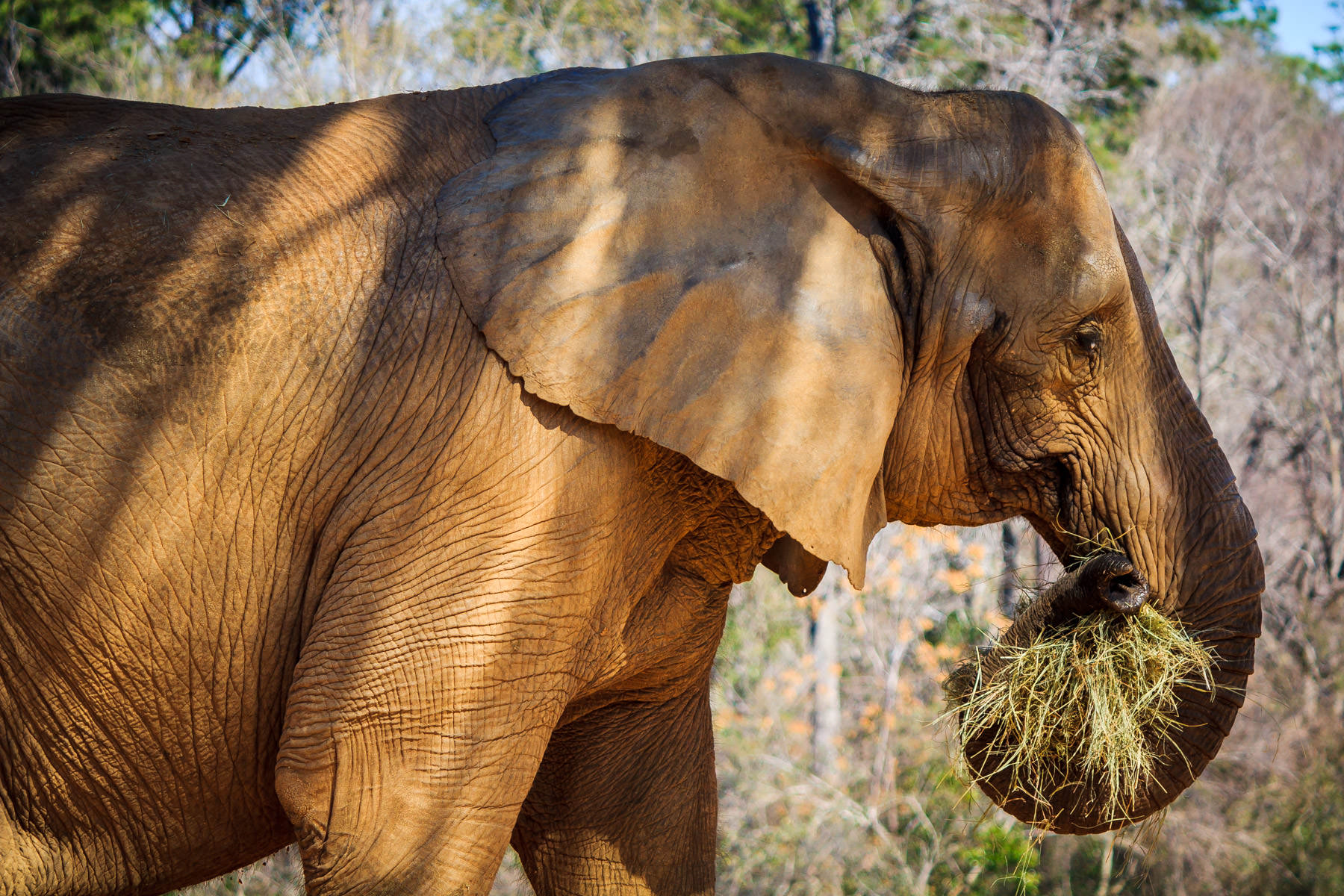 An elephant at Tyler, Texas' Caldwell Zoo enjoys a snack of hay.