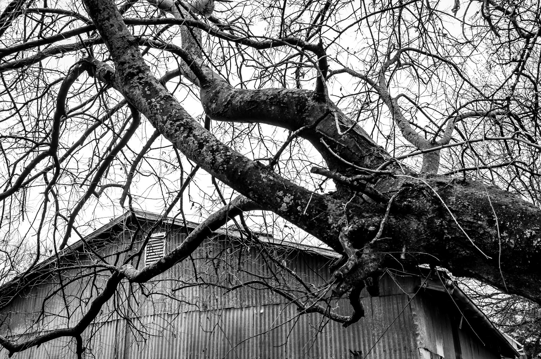 Tree branches spiderweb over a rusting barn in McKinney, Texas.