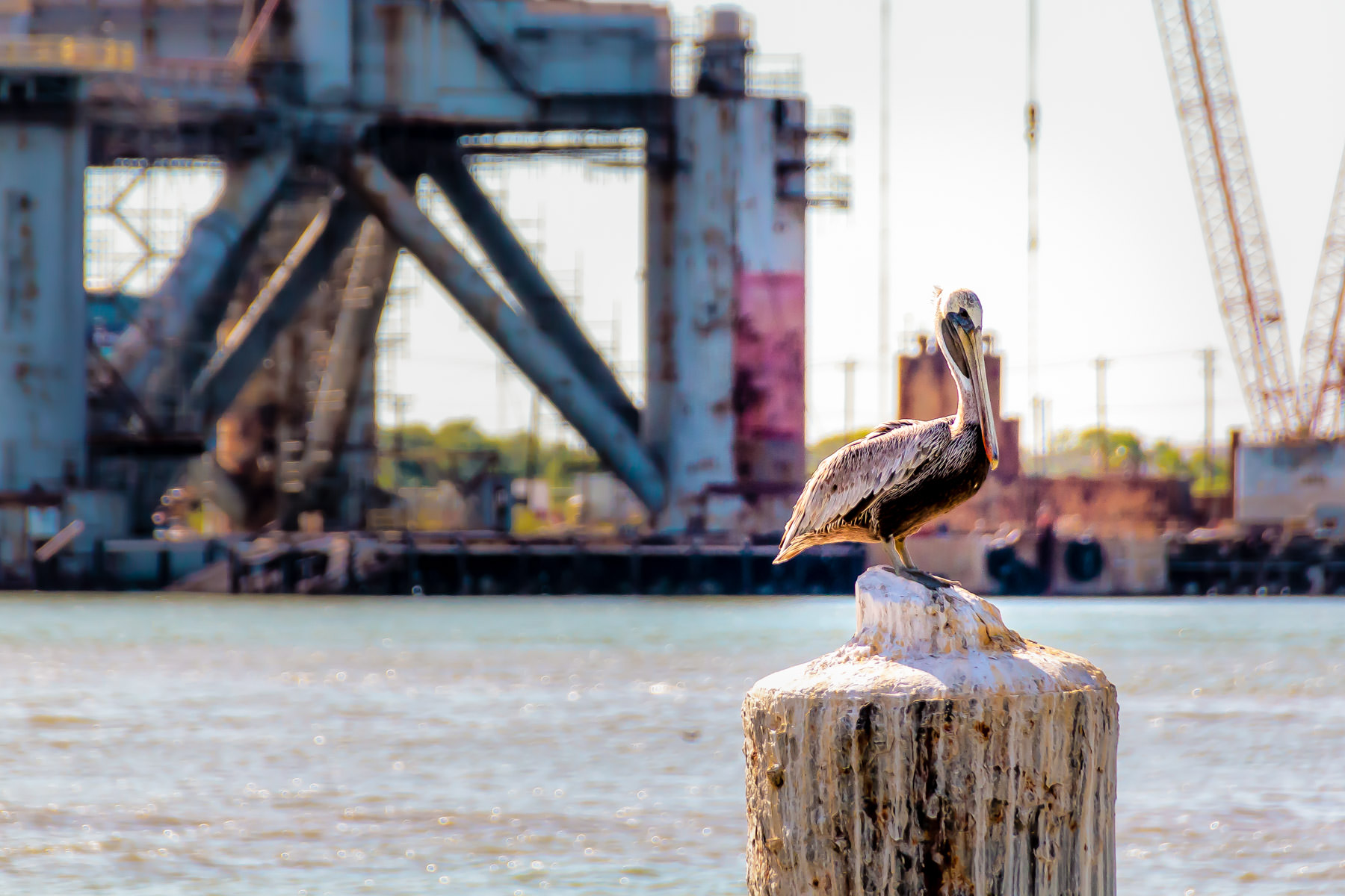 A pelican alights on a piling in Galveston Harbor as an oil platform in a dry dock looms behind him.