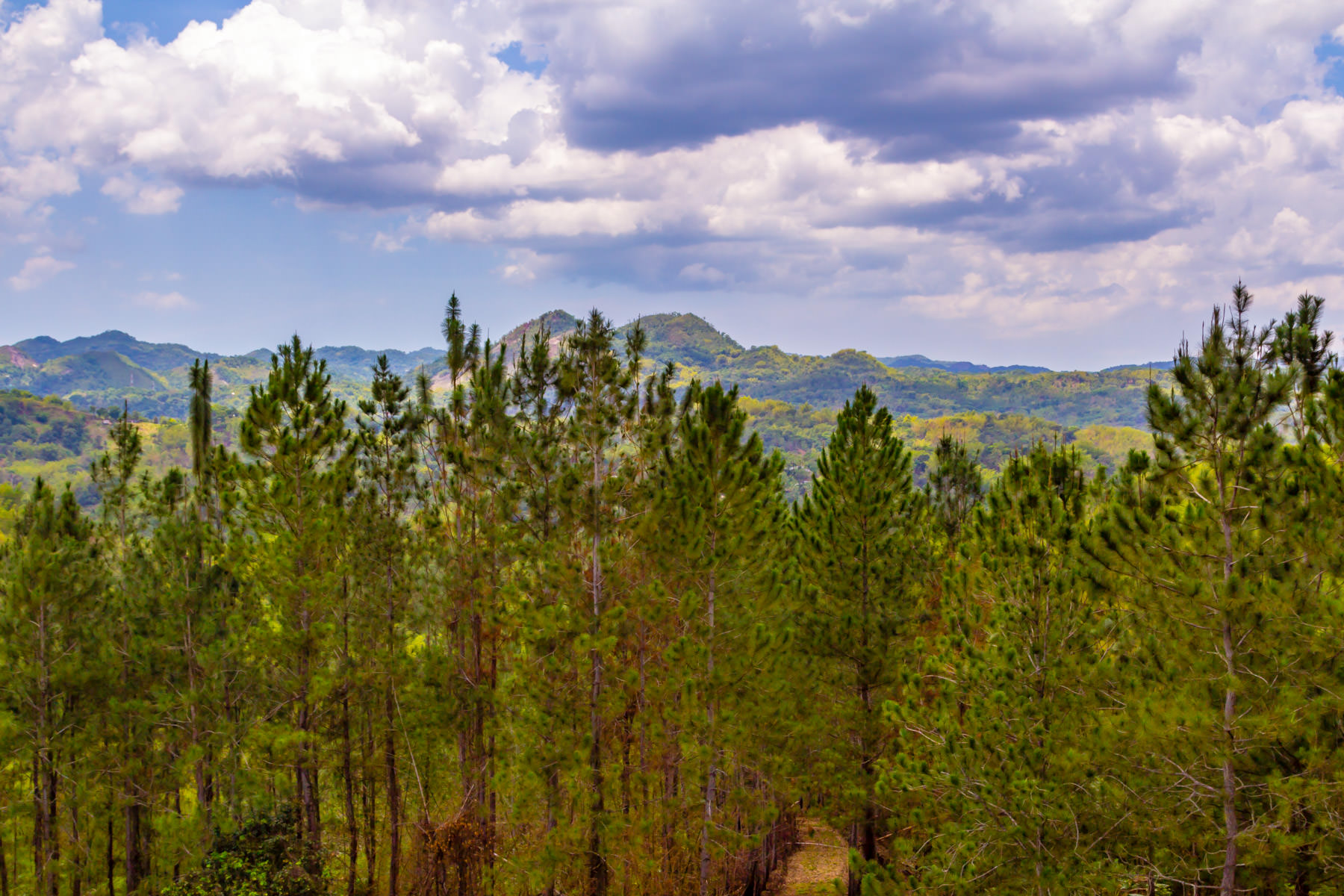 Pine trees grow at the Croydon in the Mountains plantation in northwest Jamaica.