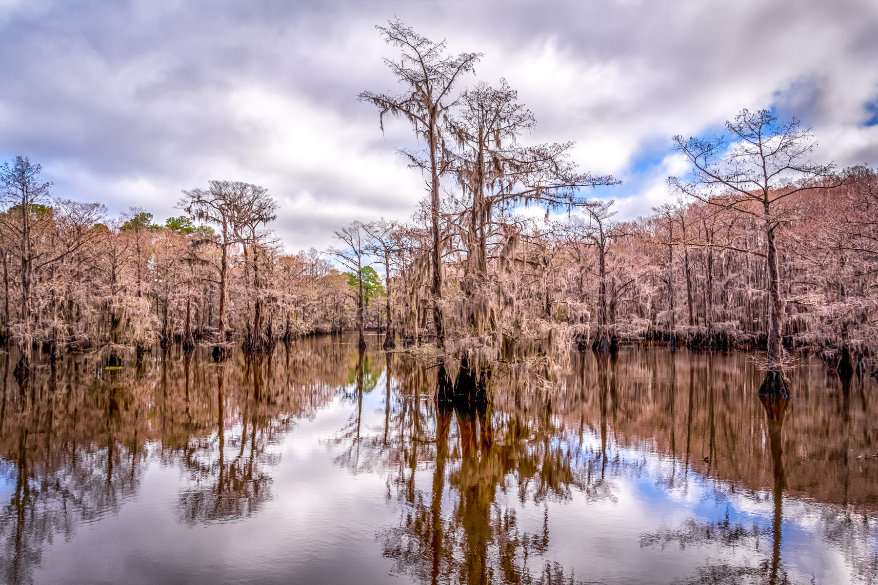 Spanish moss-encrusted cypress trees rise from Texas' Caddo Lake at Caddo Lake State Park.