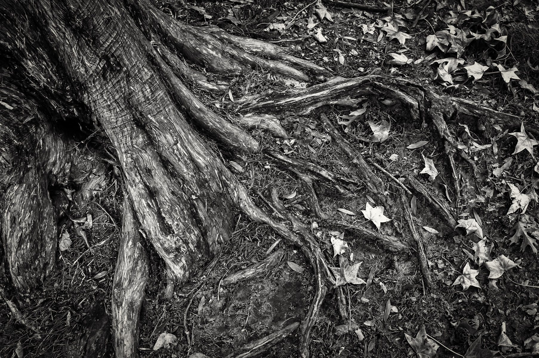 Tree roots spotted in Tyler, Texas' Bergfeld Park.