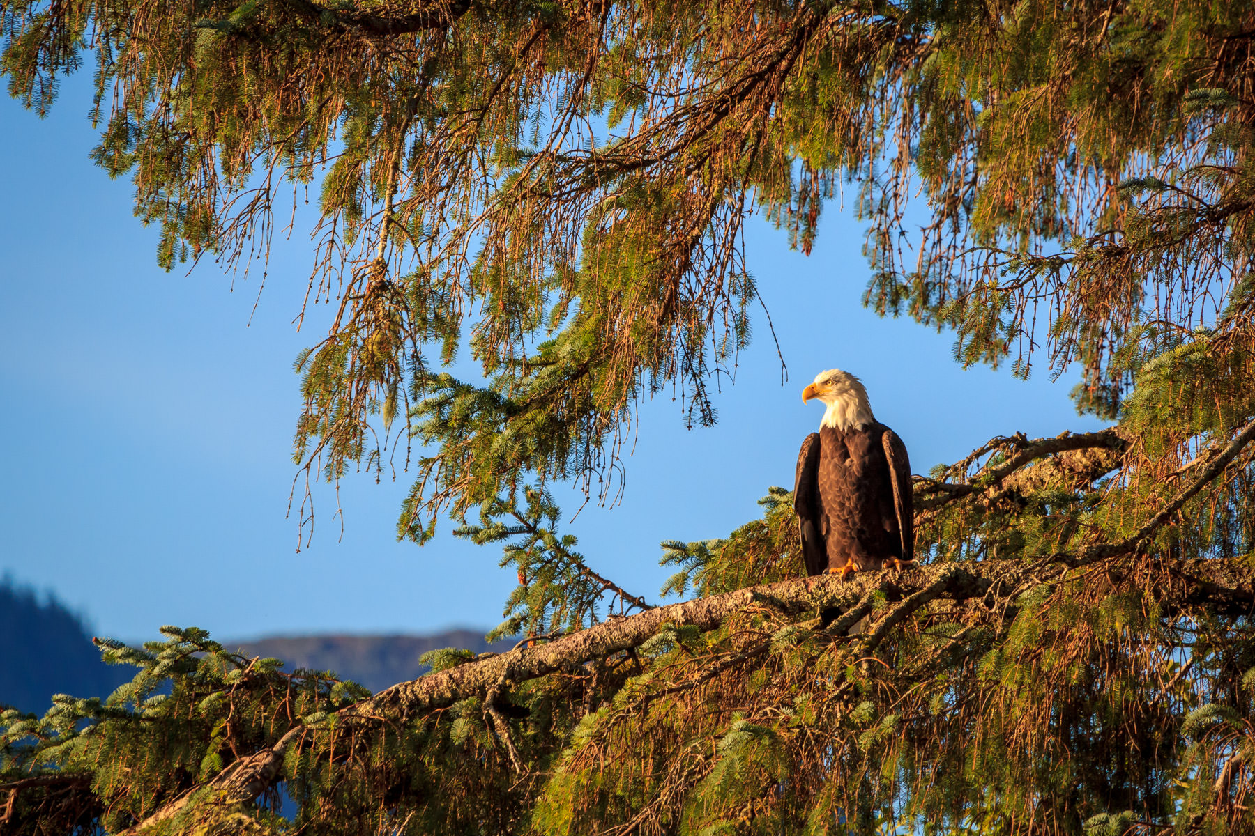 A bald eagle surveys his domain from a treetop in Ketchikan, Alaska.