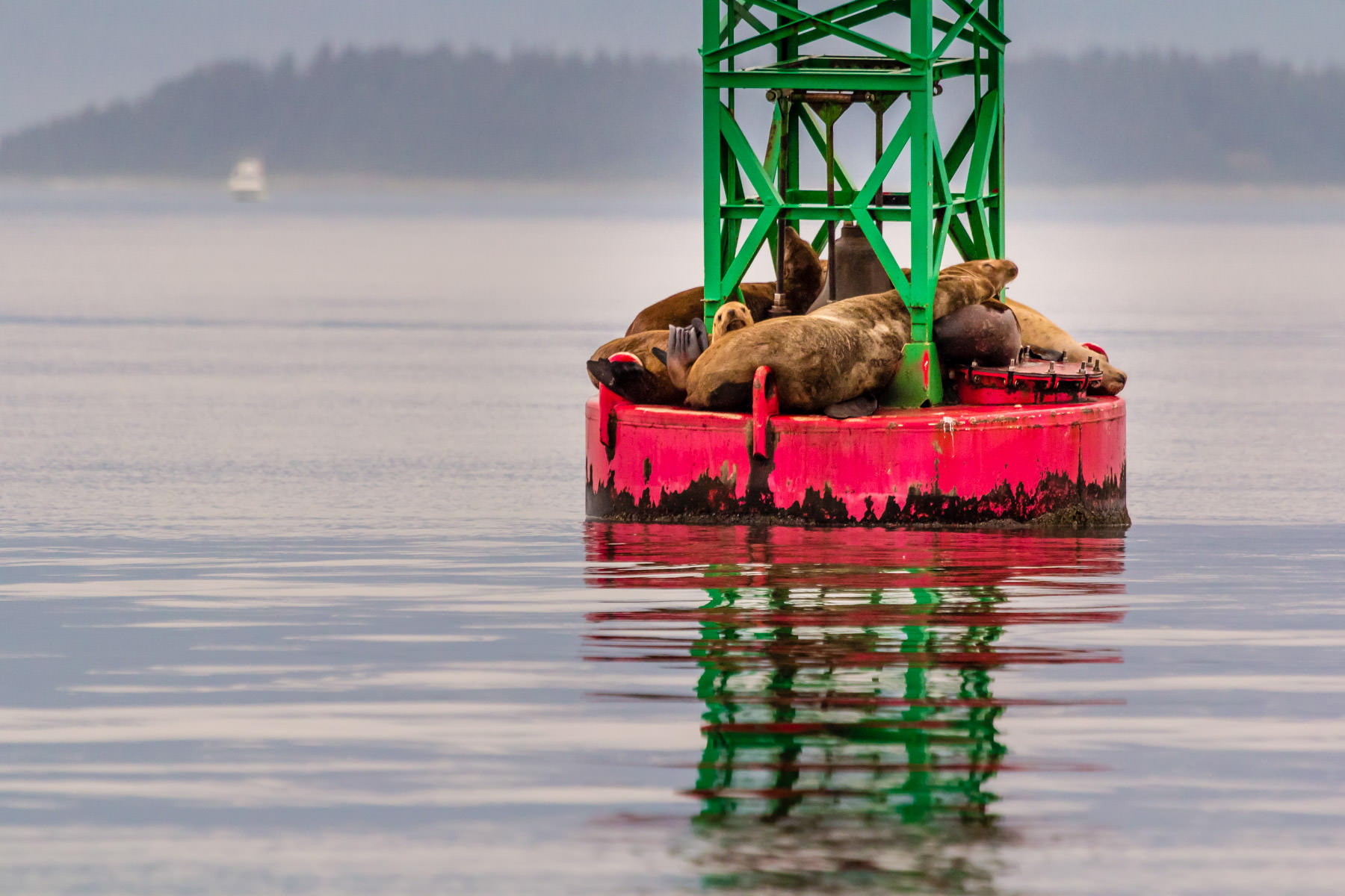 A group of Steller sea lions rest on a buoy near Juneau, Alaska.