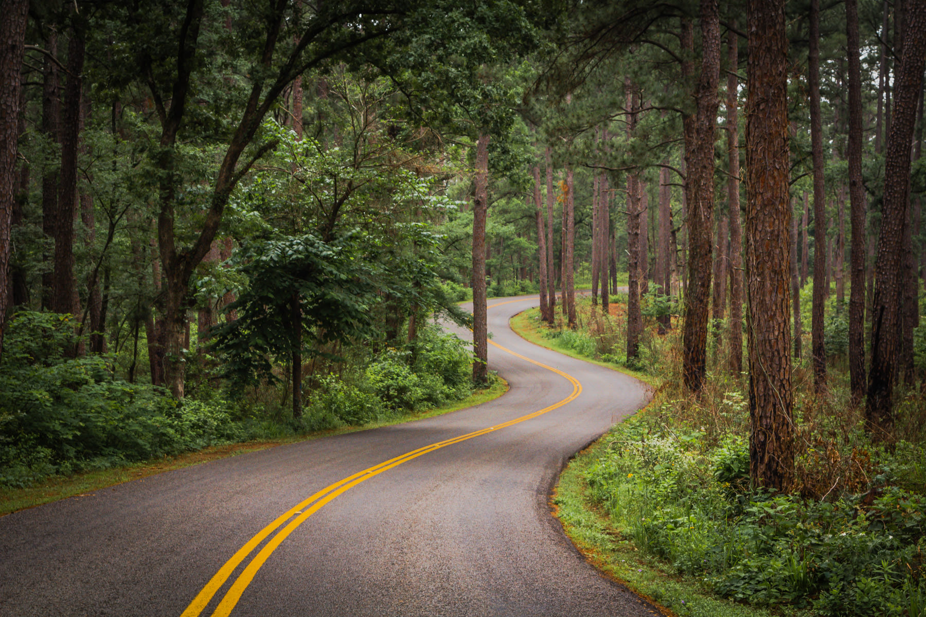 A road winds through the pine tree forest at Tyler State Park, Texas.