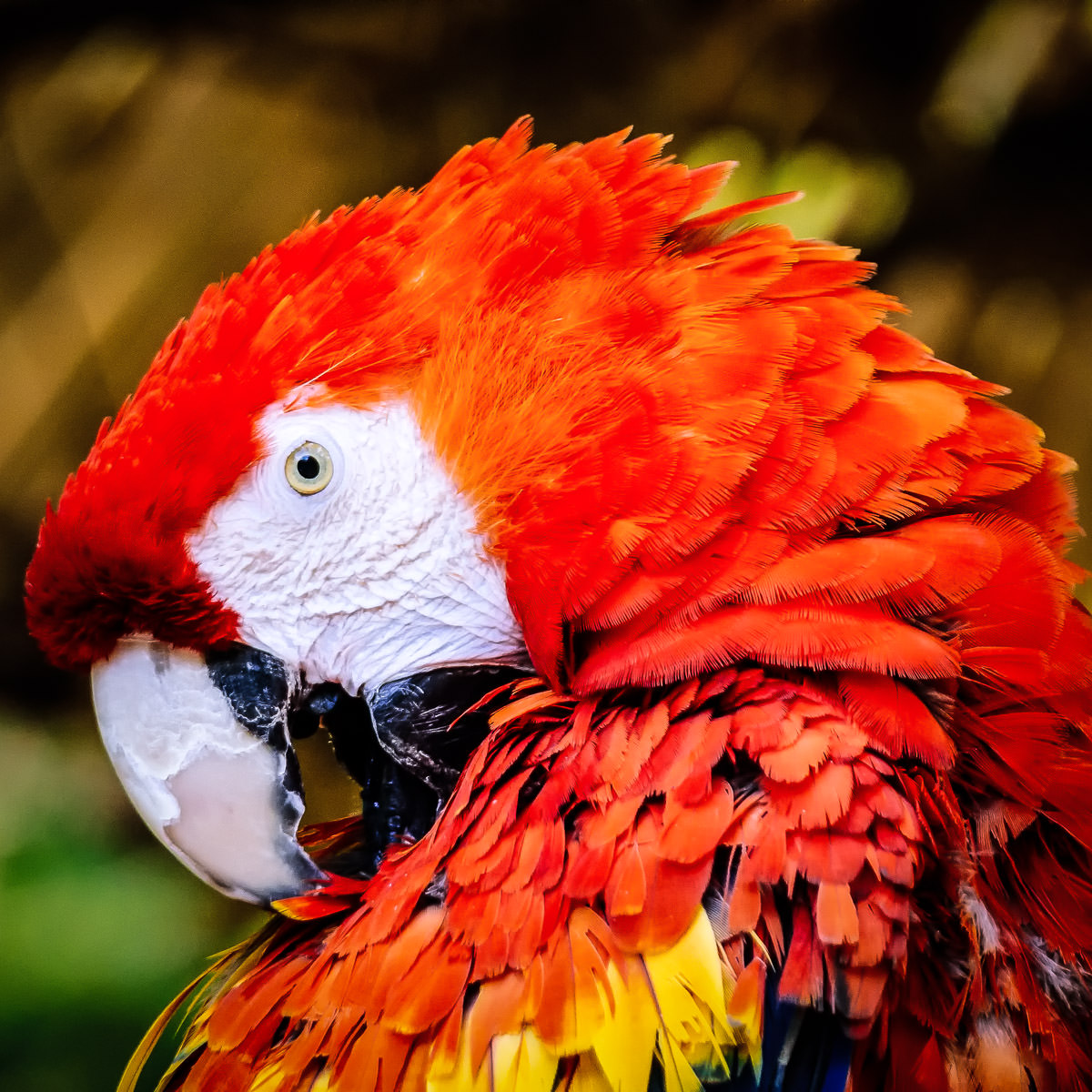 A scarlet macaw at Tyler, Texas' Caldwell Zoo.