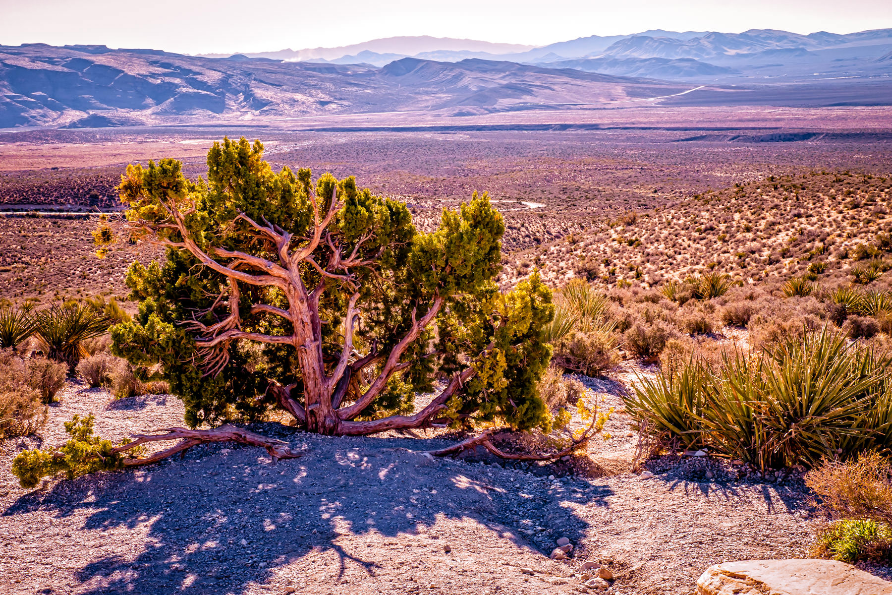 A twisted tree withers in the desert sun at Nevada's Red Rock Canyon.