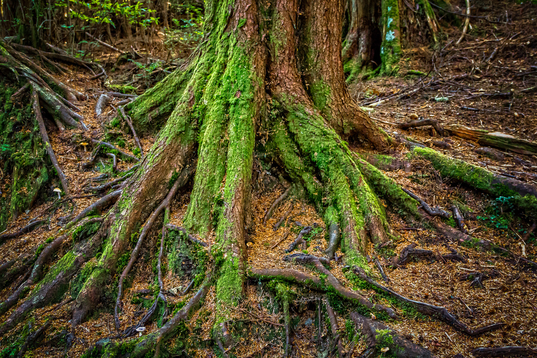Moss-covered tree roots found at Totem Bight State Park in Ketchikan, Alaska.