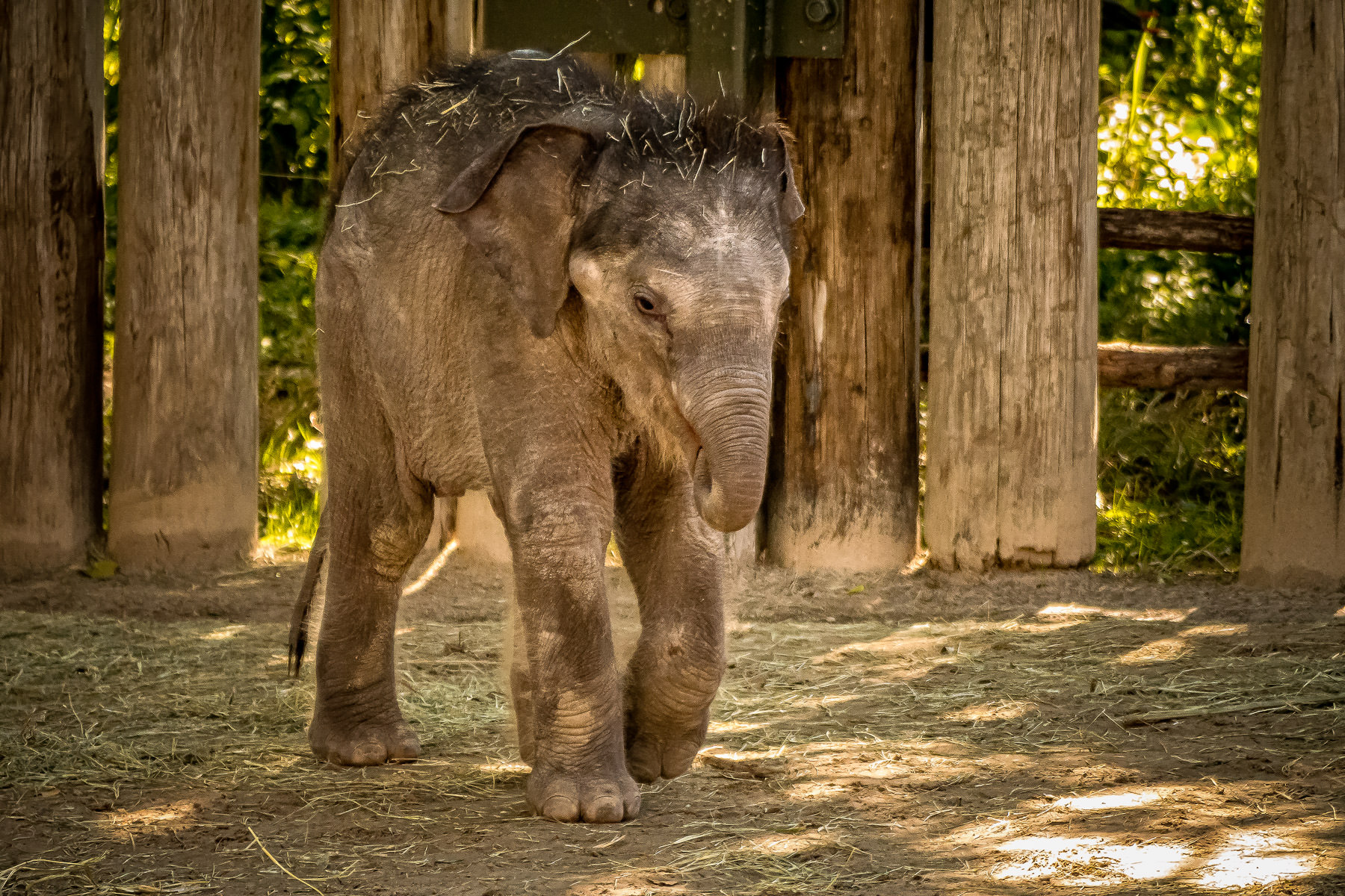 A newborn elephant at the Fort Worth Zoo, Fort Worth, Texas.