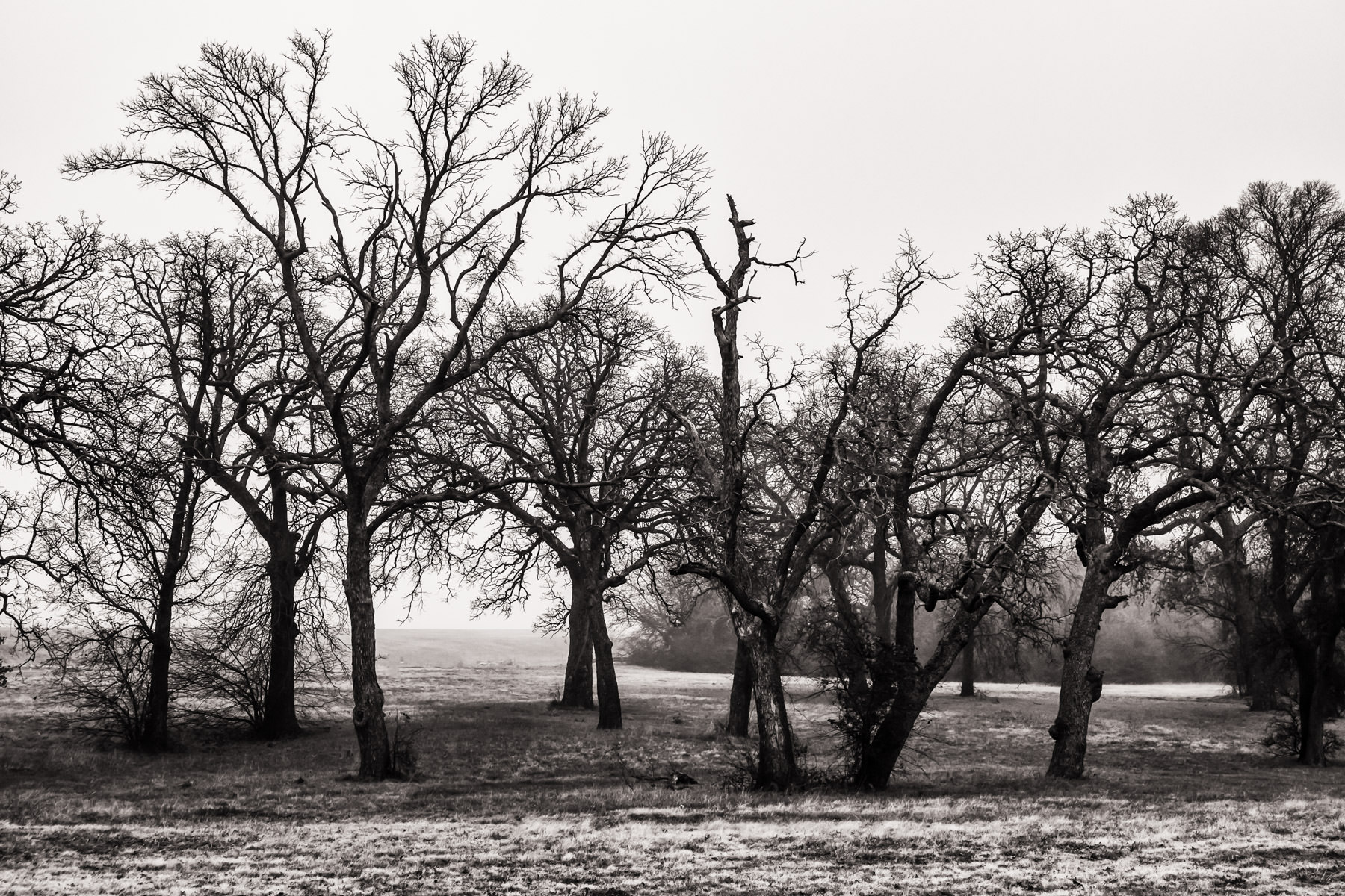 Stark, leafless trees spotted on the grounds of DFW International Airport, Texas.