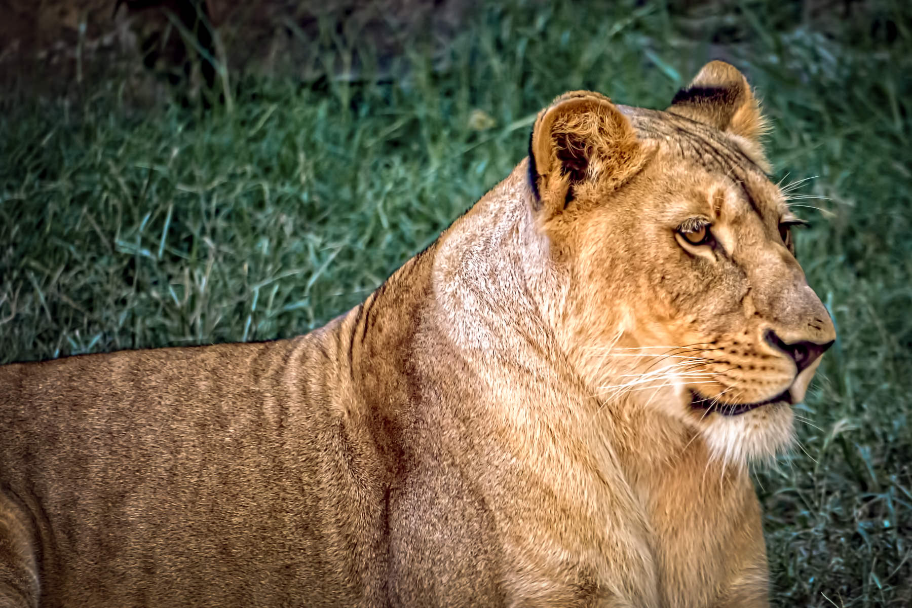 A lioness spotted at the Fort Worth Zoo, Fort Worth, Texas.