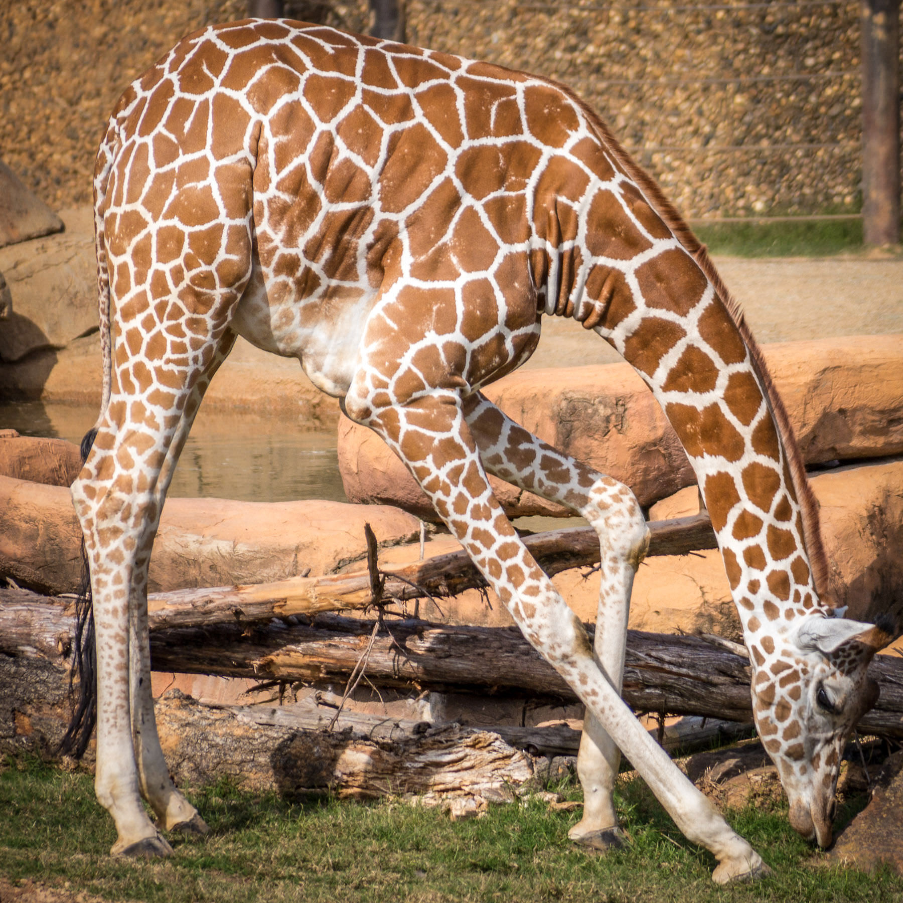 A giraffe at Tyler, Texas' Caldwell Zoo munches on some grass in its enclosure.