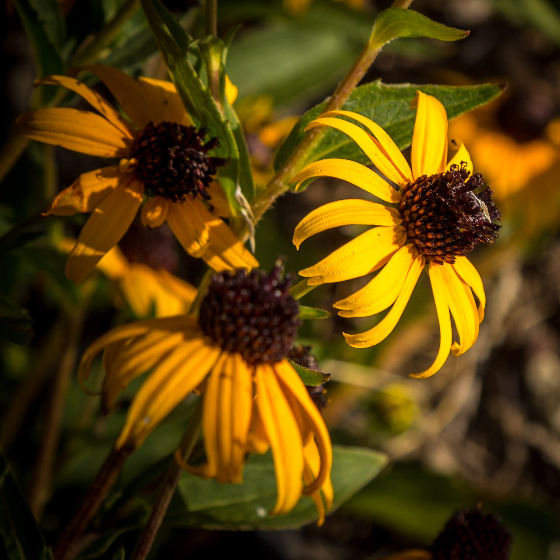Three yellow daisies, also known as black-eyed susans, found at Dallas' Klyde Warren Park.