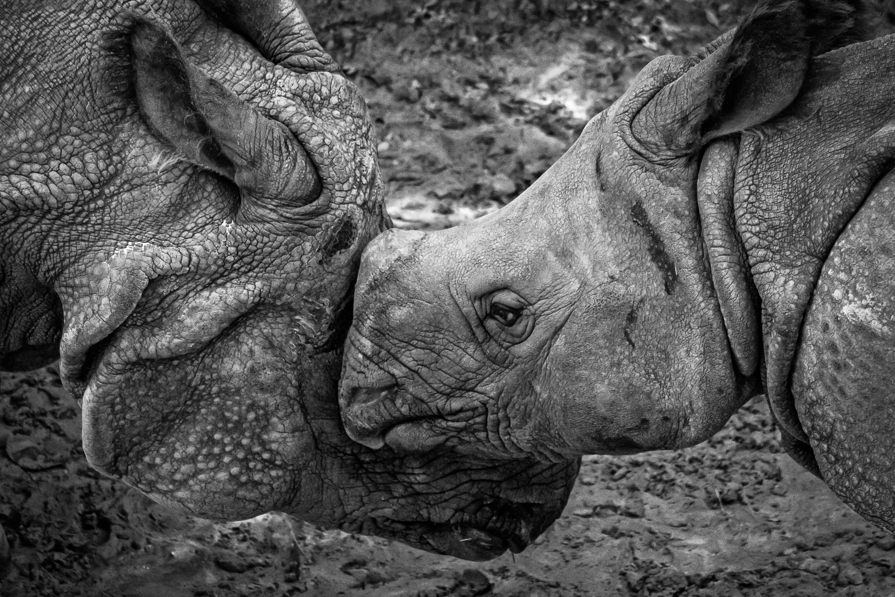 A pair of rhinoceroses at the Fort Worth Zoo prod each other with their heads.