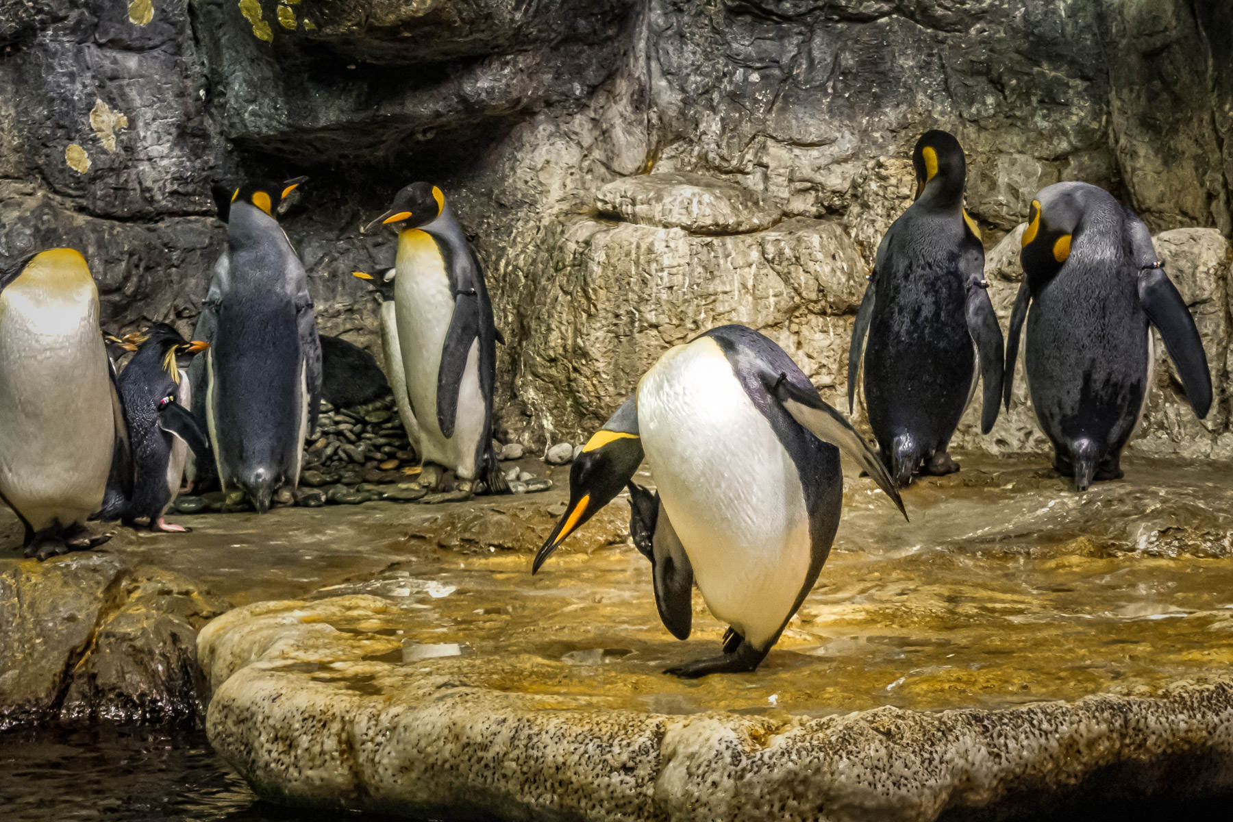 A penguin scratches an itch at Moody Gardens in Galveston, Texas.