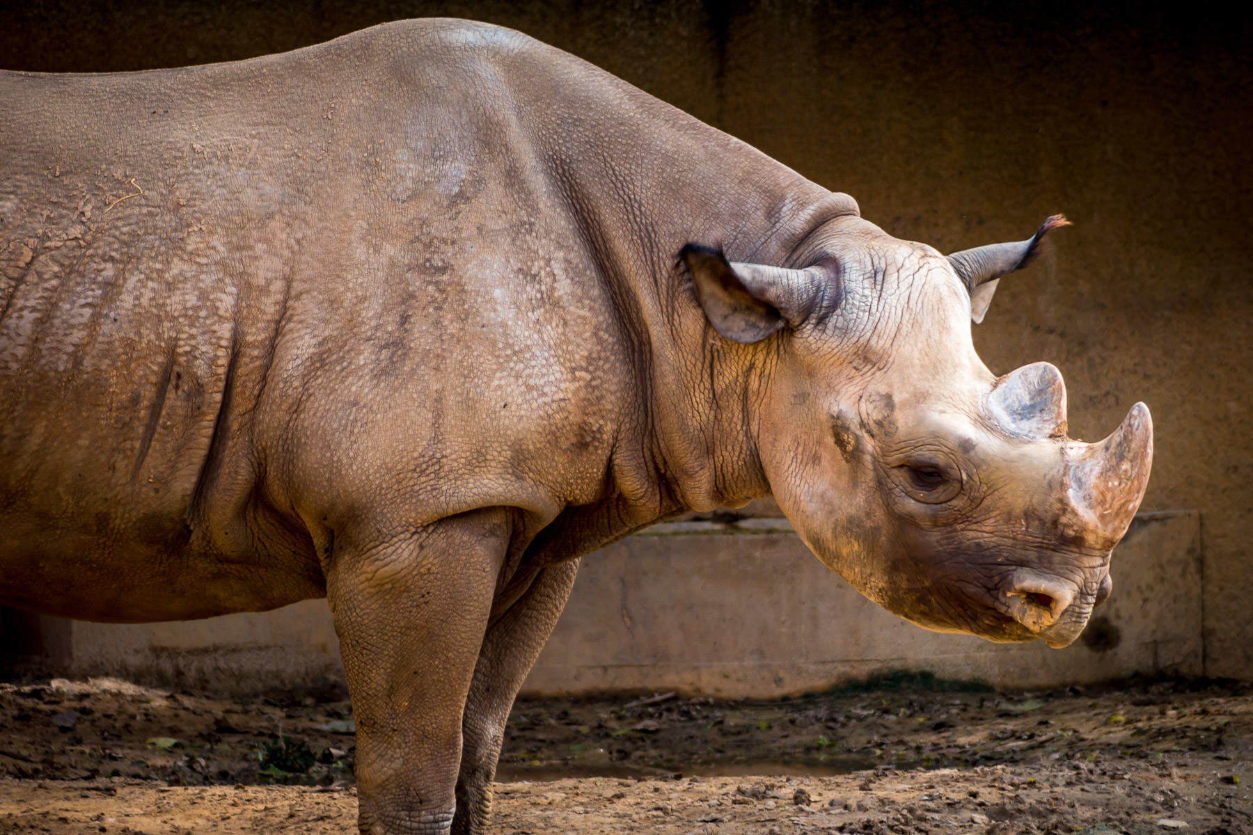 A rhinoceros spotted at the Caldwell Zoo in Tyler, Texas.