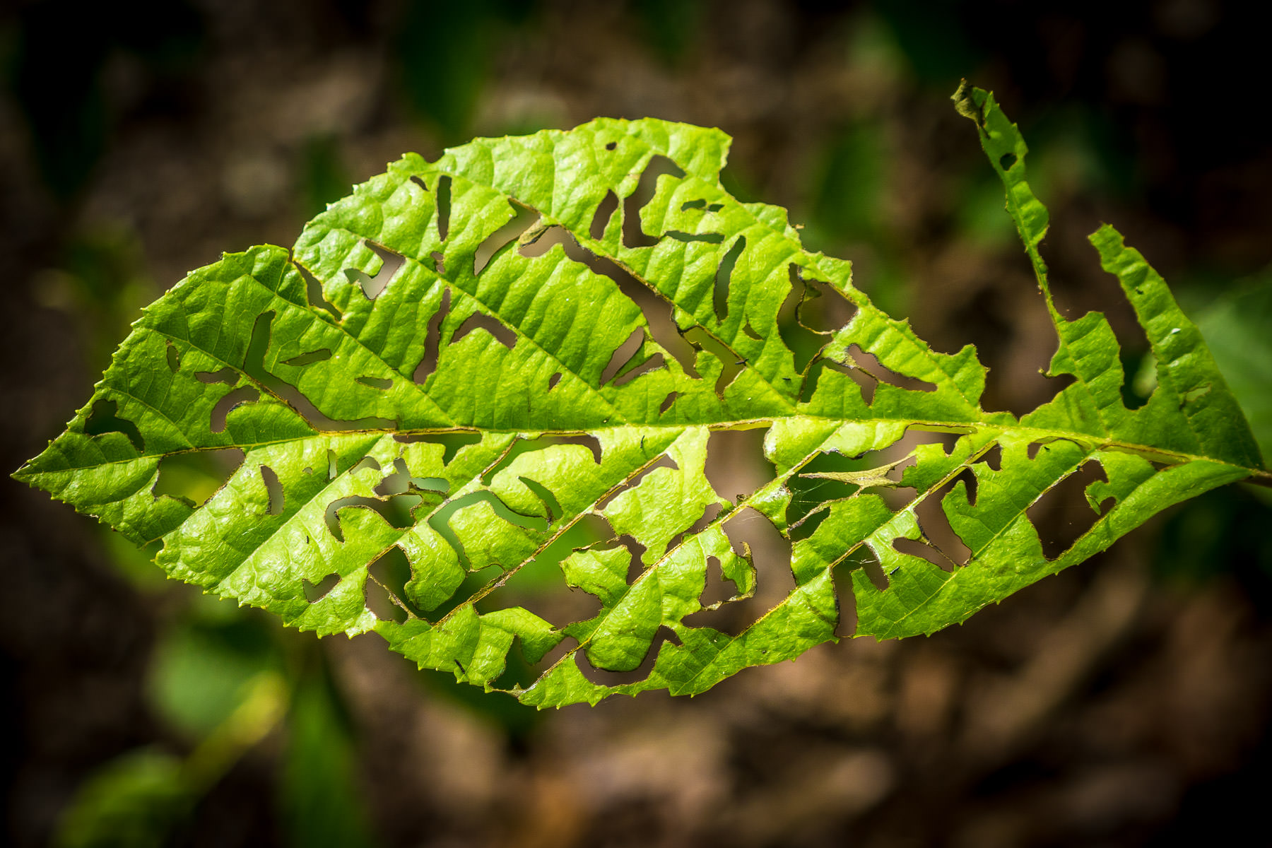 Detail of a leaf partially-eaten by an insect spotted at Tyler State Park, Texas.
