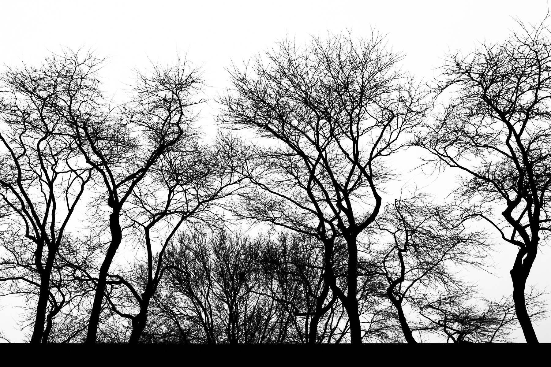 Trees in Chicago's Streeterville district, silhouetted by the dreary, overcast winter sky.