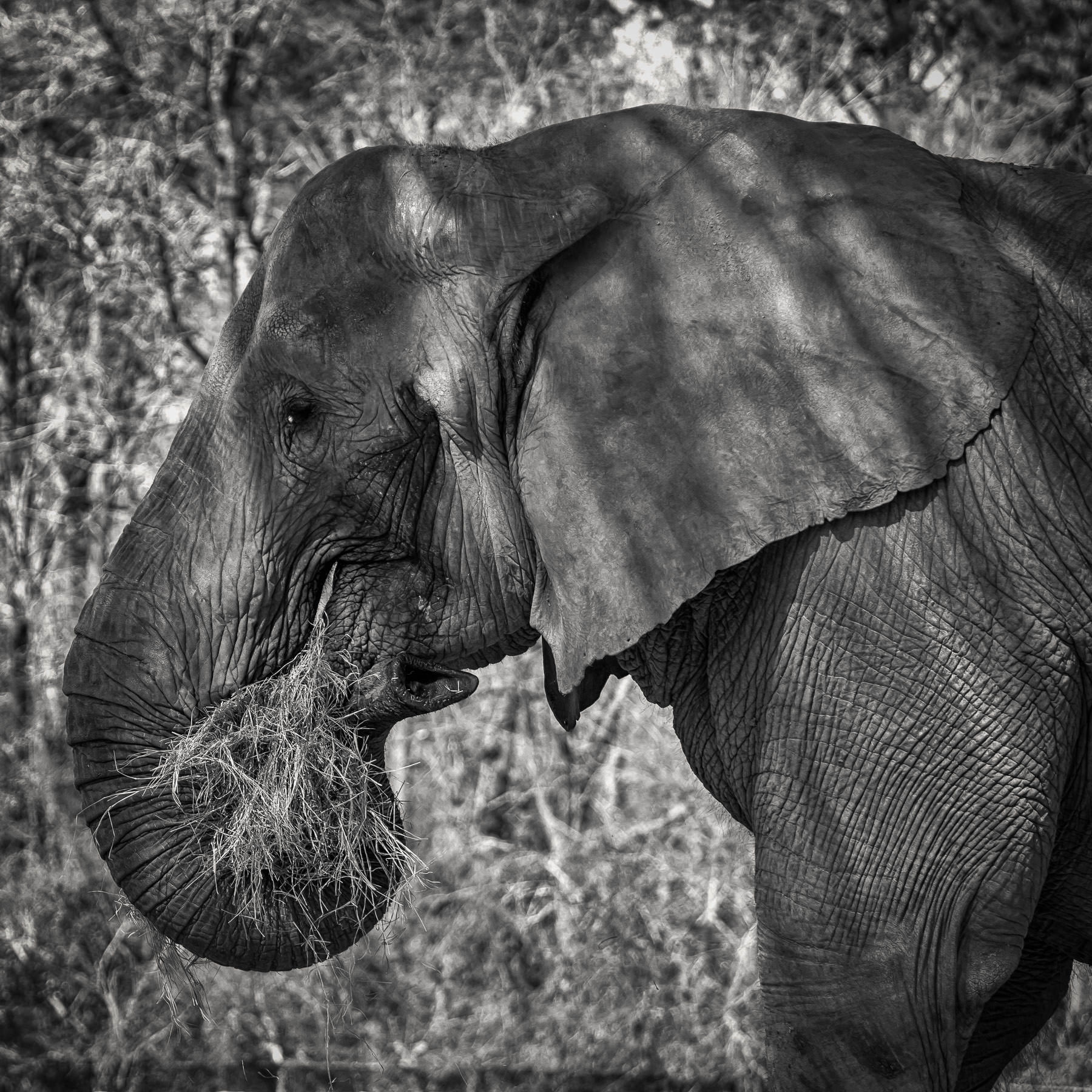 An elephant at Tyler, Texas' Caldwell Zoo enjoys a mouthful of hay.