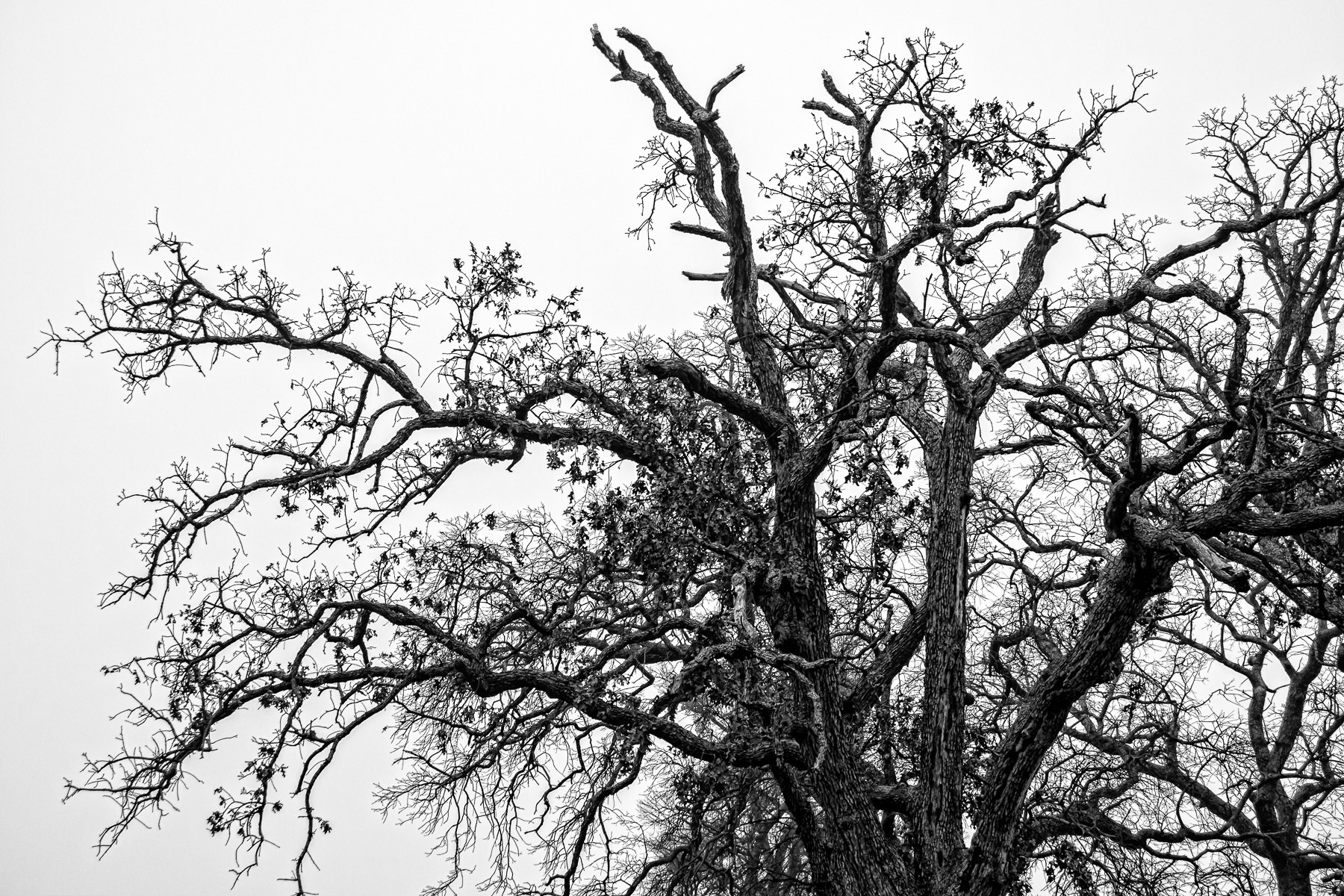 Intricate tree branches rise into the overcast sky at DFW International Airport, Texas.