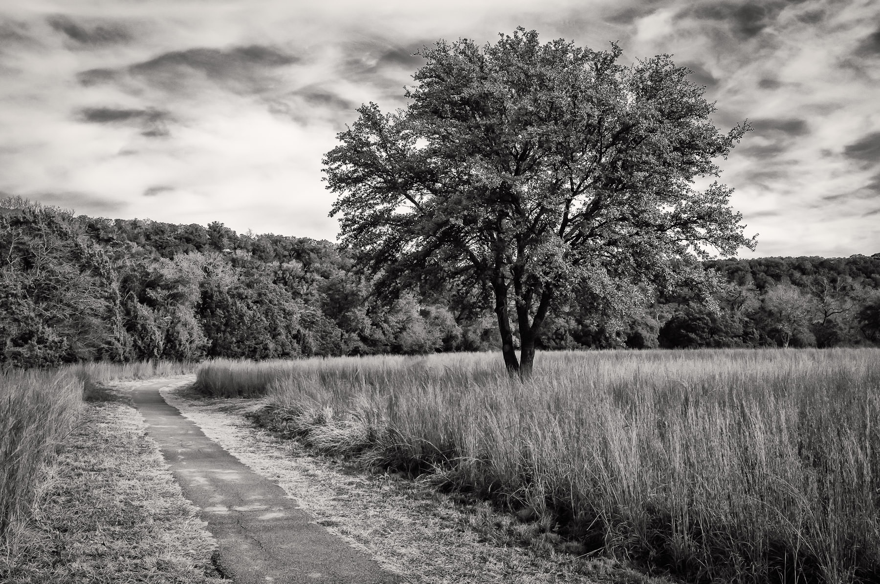 A tree rises from the long grass at Texas' Dinosaur Valley State Park.