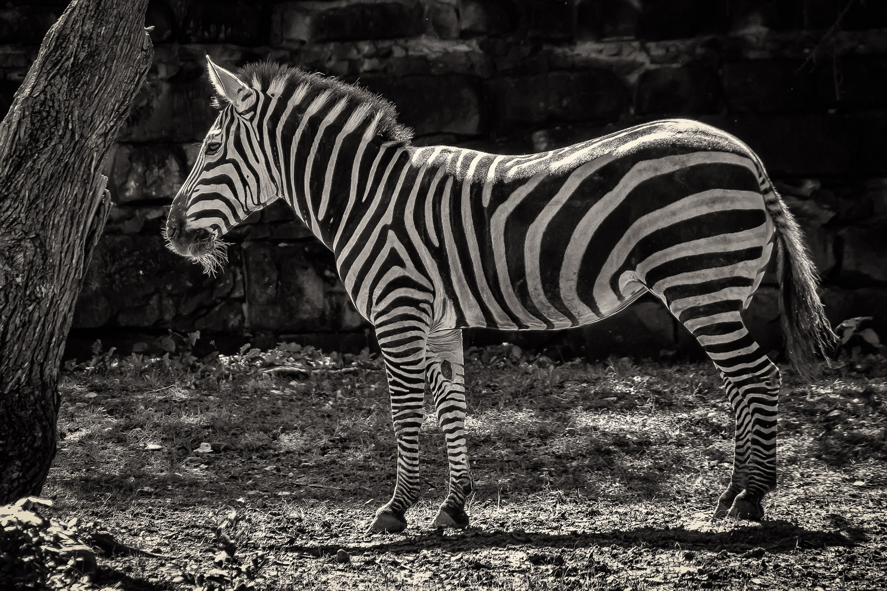 A zebra shows its stripes at the Fort Worth Zoo.