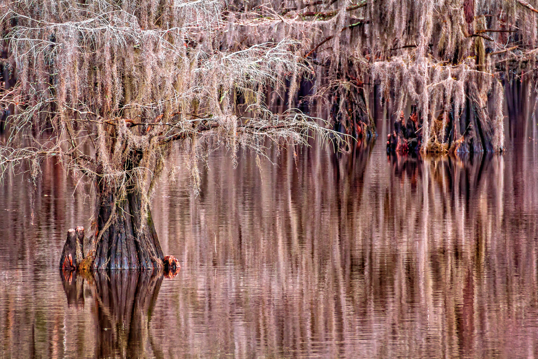 Ethereal cypress trees rise from the water at East Texas' Caddo Lake.