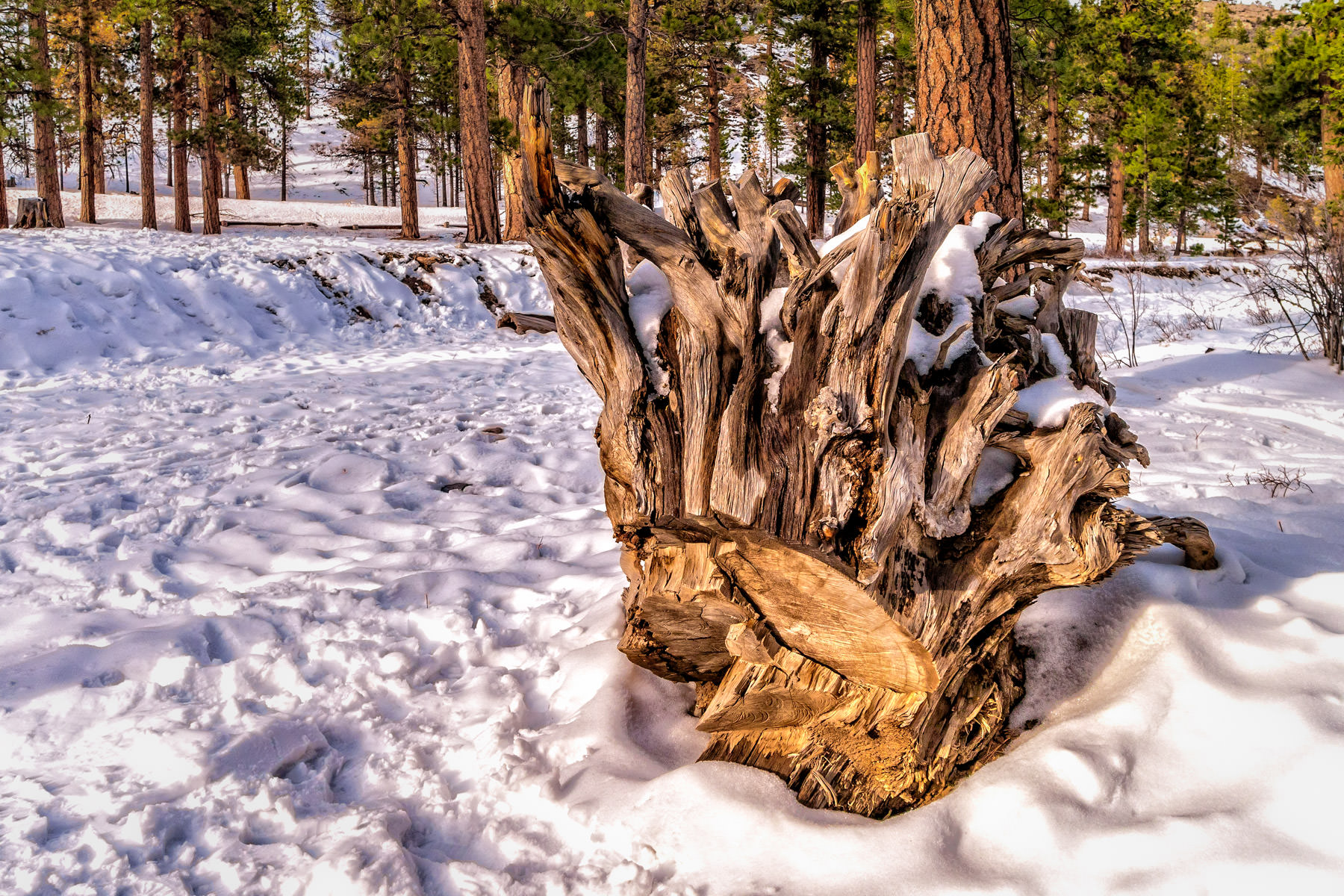 A tree stump lies in the snow of Nevada's Mount Charleston.