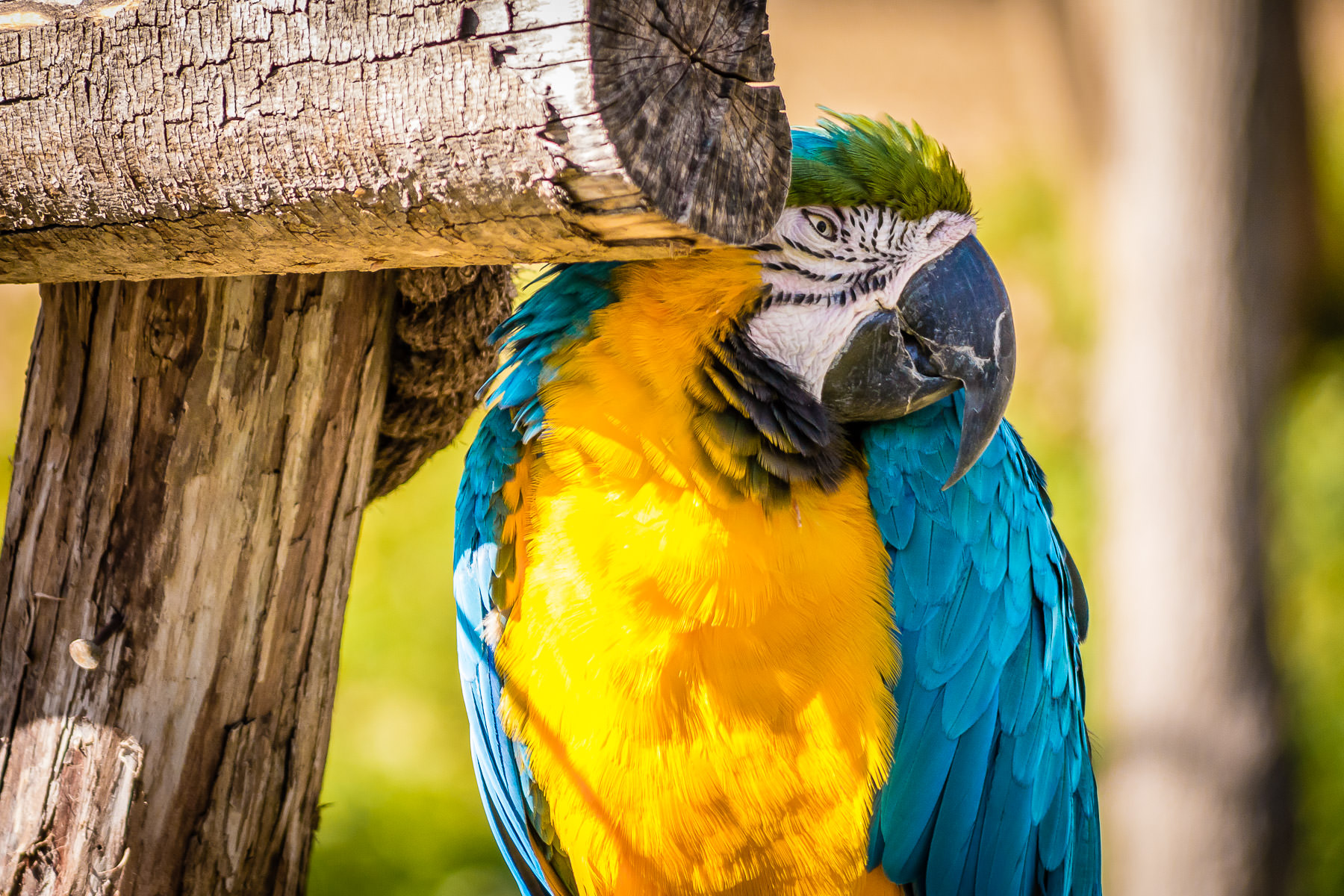 A blue-and-yellow macaw shyly hides behind a perch in his habitat at the Dallas Zoo.