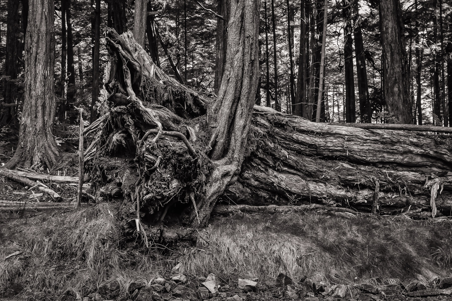 A fallen tree lies in the forest at Ketchikan, Alaska's Totem Bight State Historical Park.