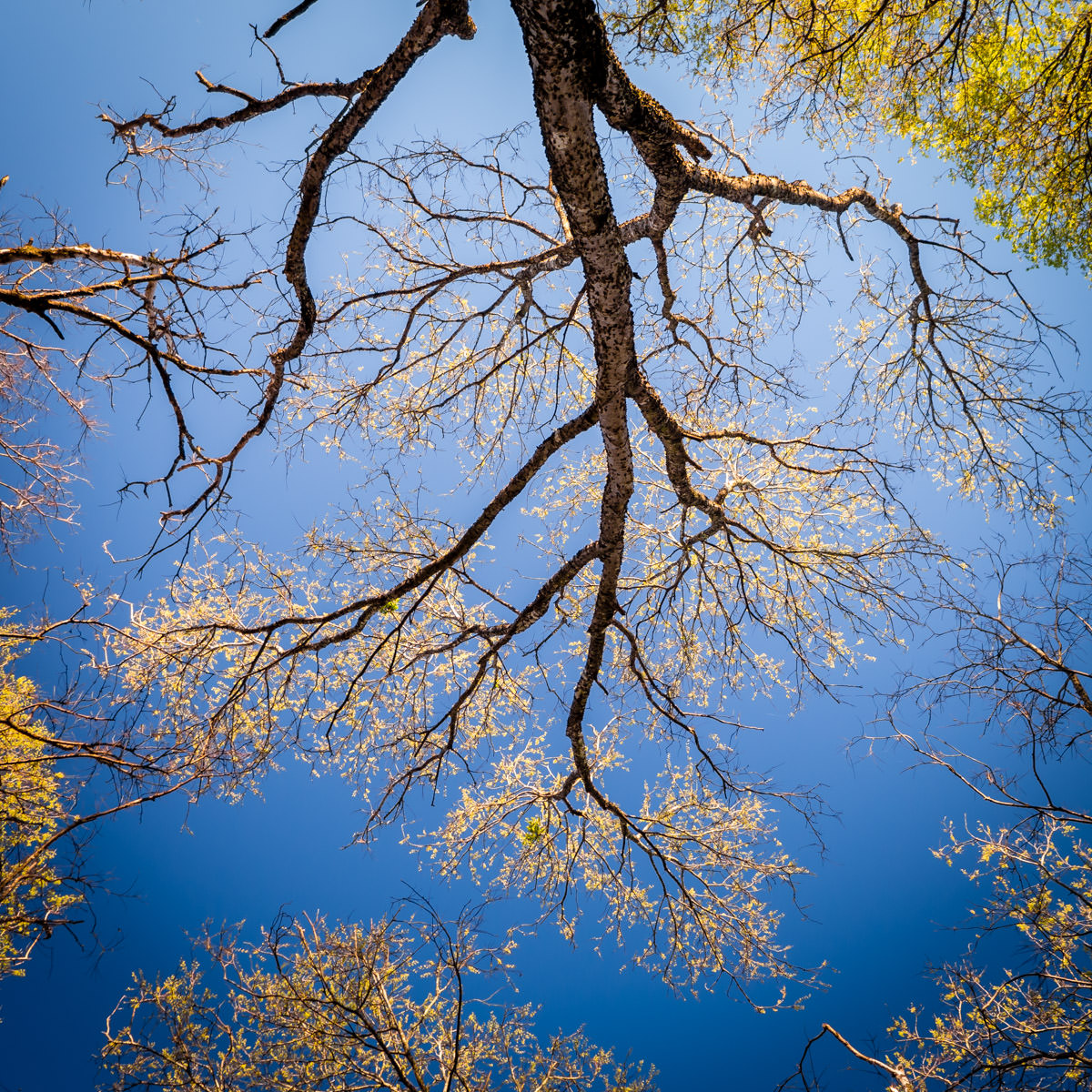 A tree growing in Dallas' Great Trinity Forest resembles the dendrite structures of a nerve cell.