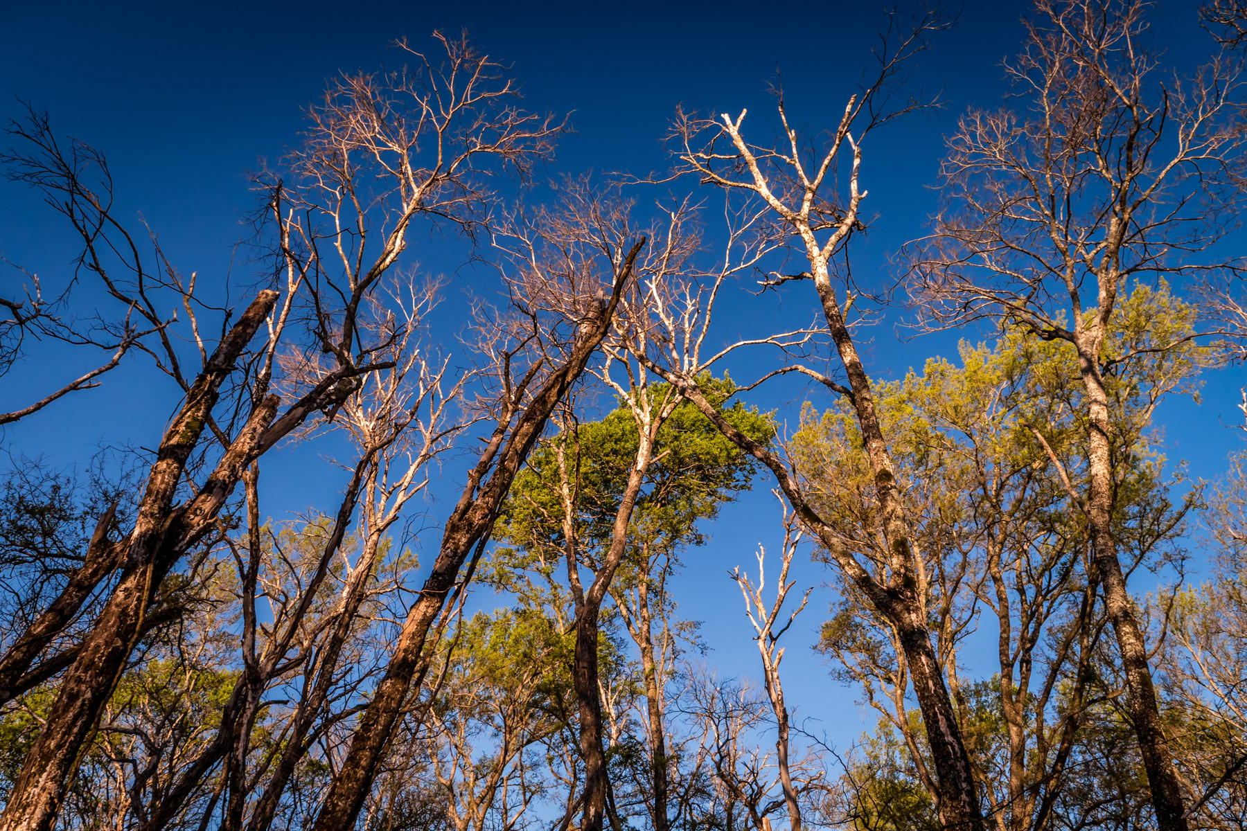 Trees in Dallas' Great Trinity Forest reach into the clear blue sky over North Texas.
