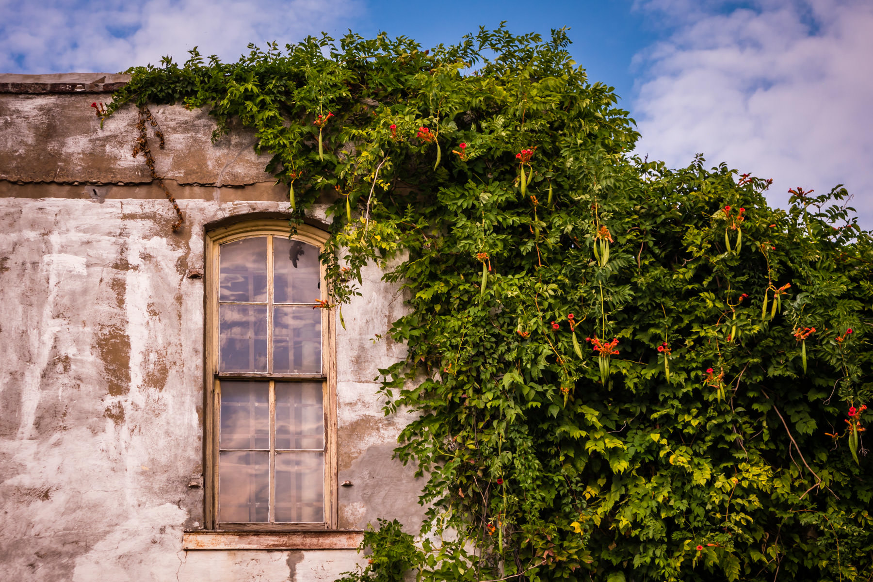 Trumpet vine slowly overtakes an abandoned building in Downtown Pilot Point, Texas.